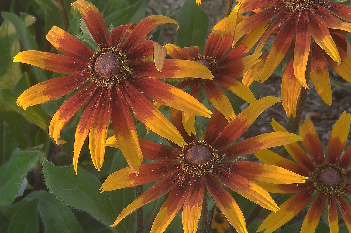 Orange and brown rudbeckia flowers in TAMU...M University. College Station, Texas