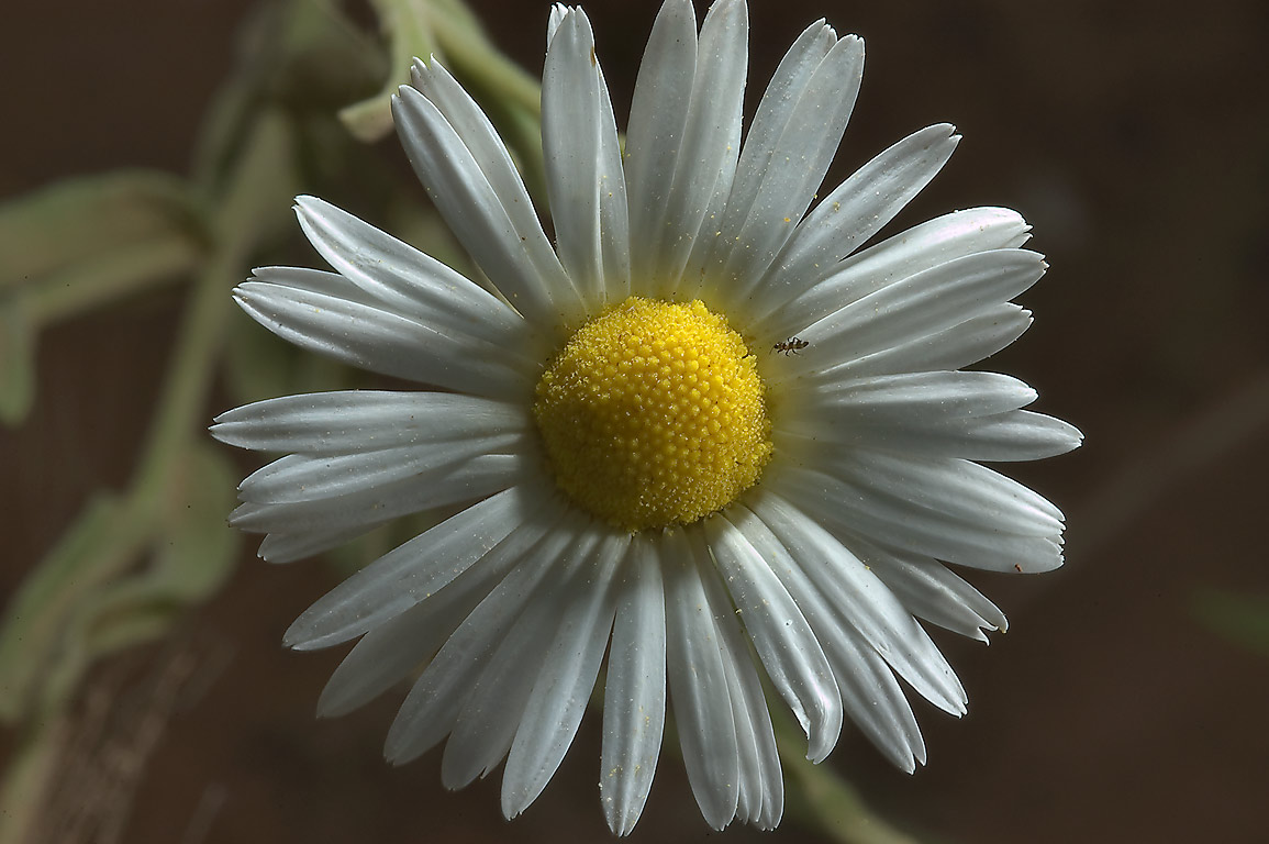 Lazy daisy (Aphanostephus skirrhobasis) on...near Sugarloaf Mountain. Gause, Texas