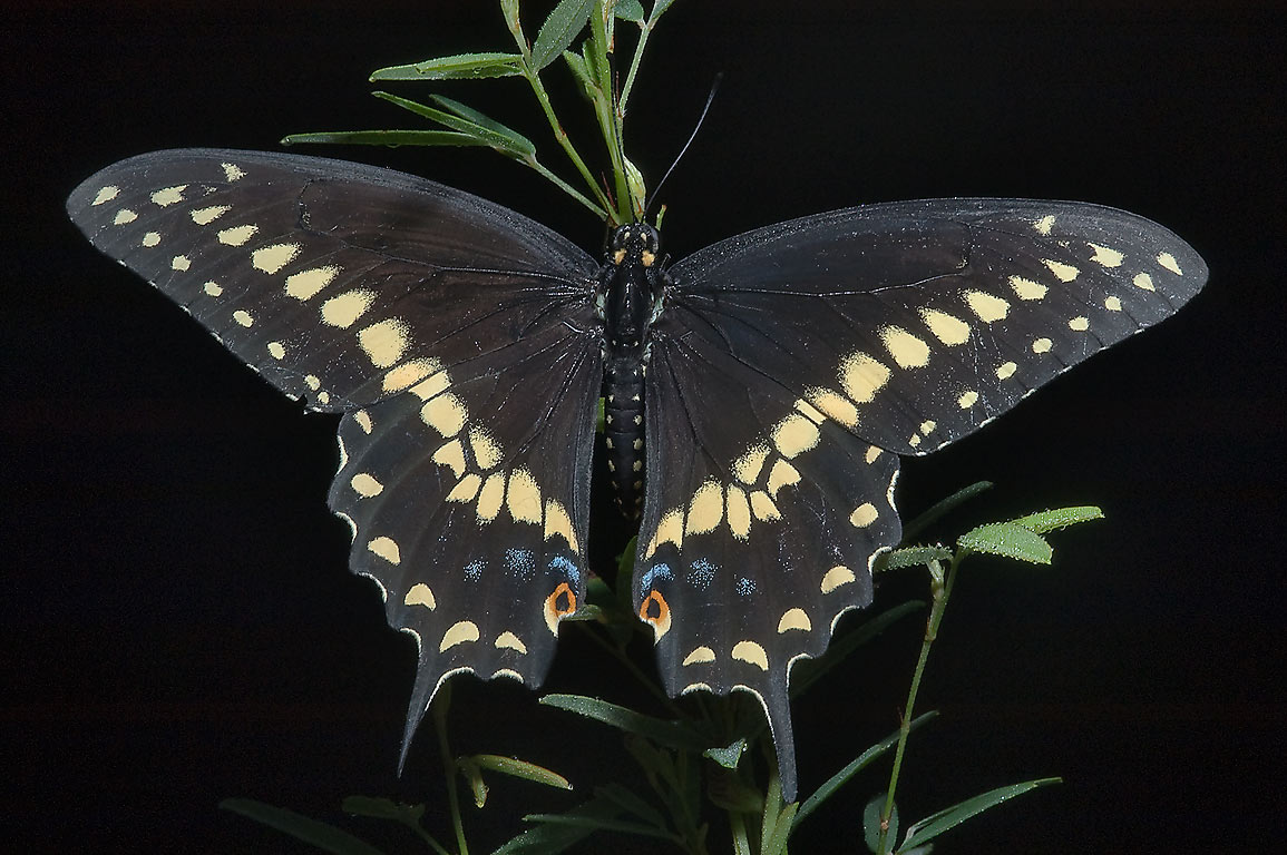 Black swallowtail butterfly (Papilio polyxenes...in Lake Bryan Park. Bryan, Texas