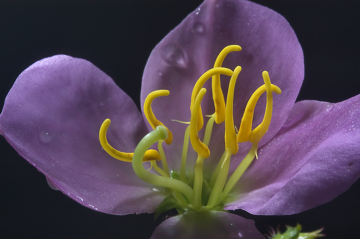 Flower of Maryland meadow-beauty (Rhexia mariana...Creek Park. College Station, Texas