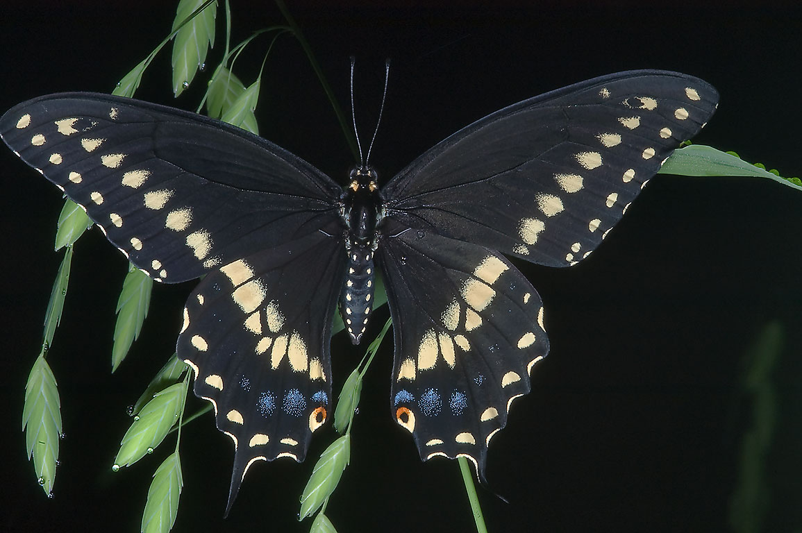 Black swallowtail butterfly (Papilio polyxenes...Creek Park. College Station, Texas