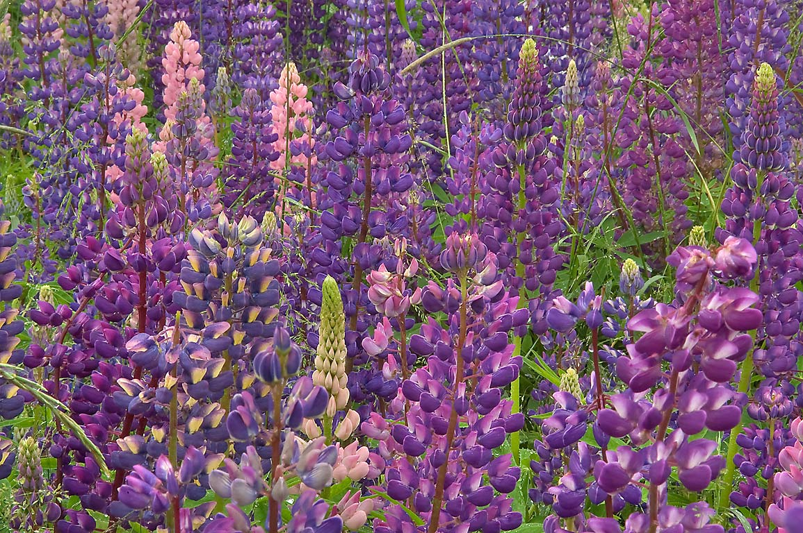 Pink and blue lupin near railroad in Shushary, south from St.Petersburg, Russia