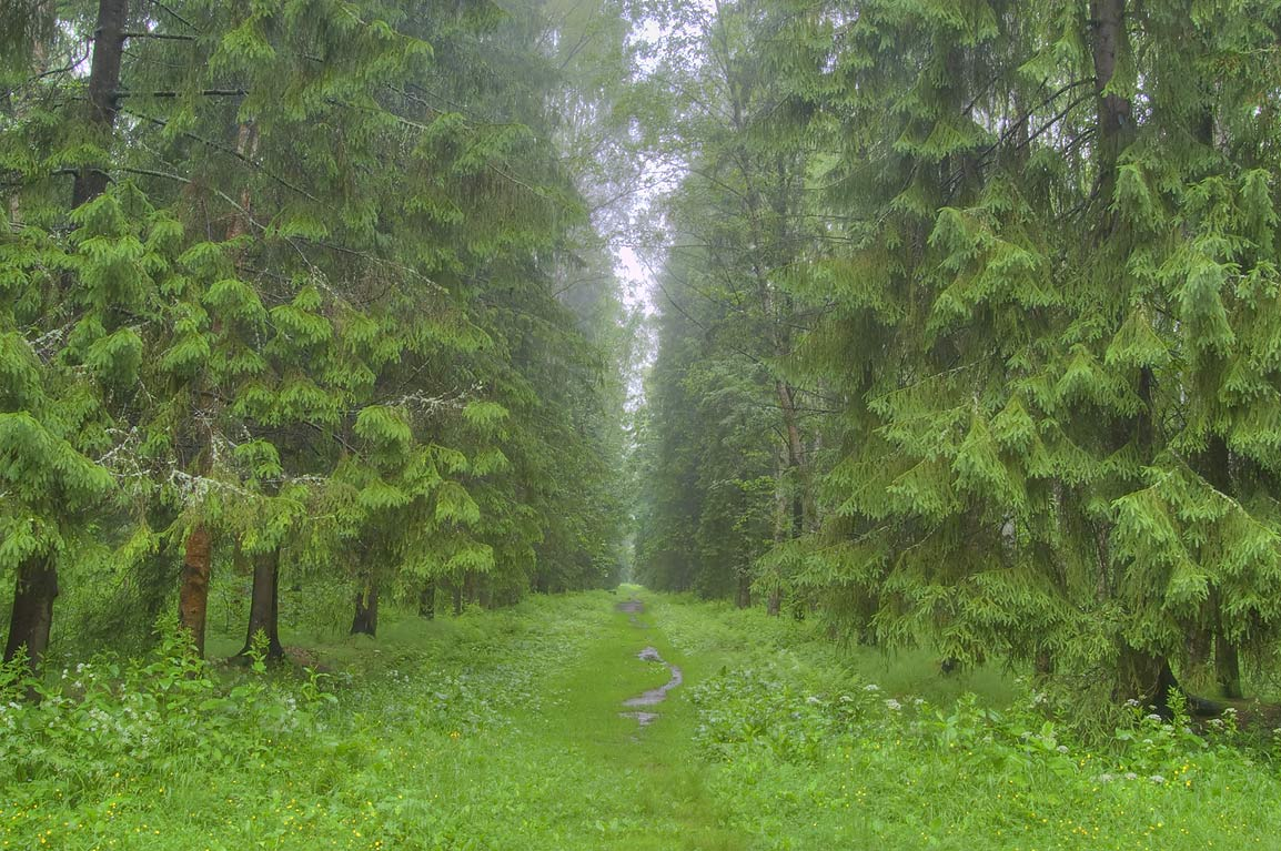 Fir alley in Pavlovsk Park, south from St.Petersburg, Russia
