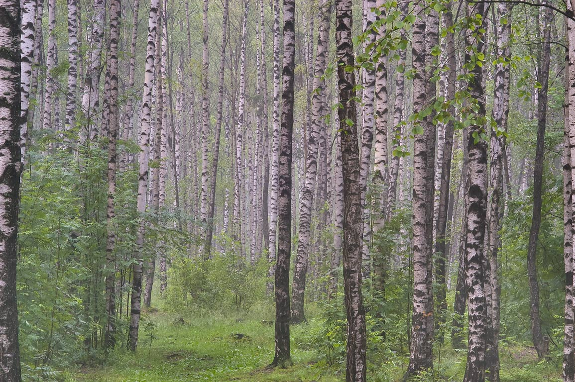 Birch forest in northern area of Sosnovka Park in mist. St.Petersburg, Russia