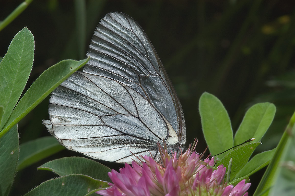 Black-veined white butterfly (Aporia crataegi) on...south from St.Petersburg, Russia