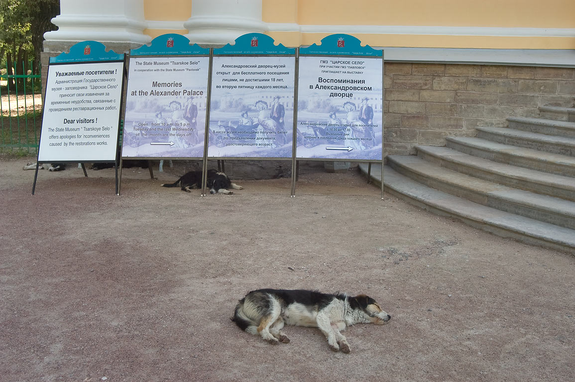 Pack of stray dogs resting at the entrance of...Selo) south from St.Petersburg, Russia