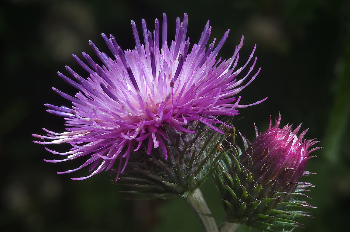 Blooming thistle (Cirsium heterophyllum , Russian...a suburb of St.Petersburg. Russia