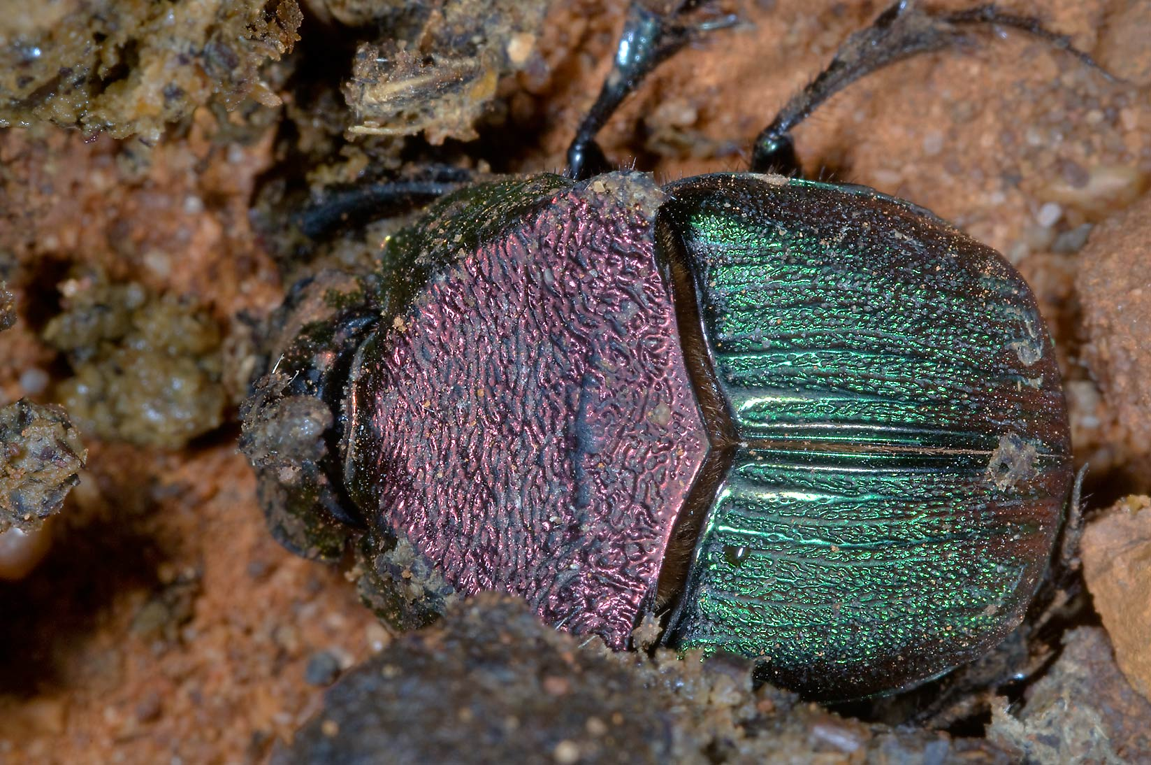 Rainbow scarab (Phanaeus vindex) on horse dung in Lick Creek Park. College Station, Texas
