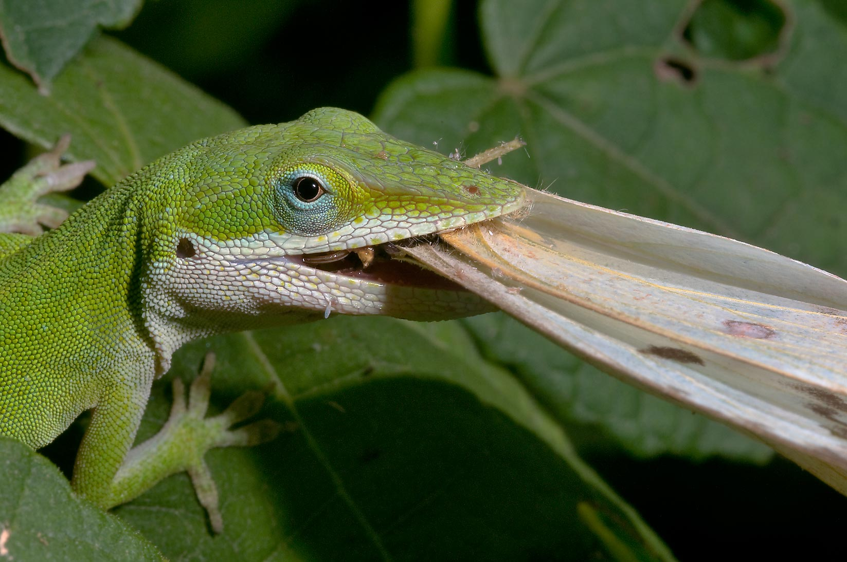 Green anole lizard with yellow butterfly in Antique Rose Emporium. Independence, Texas