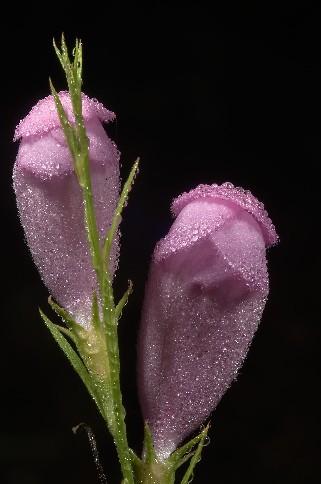 Closed flowers of purple gerardia (false foxglove...State Historic Site. Washington, Texas
