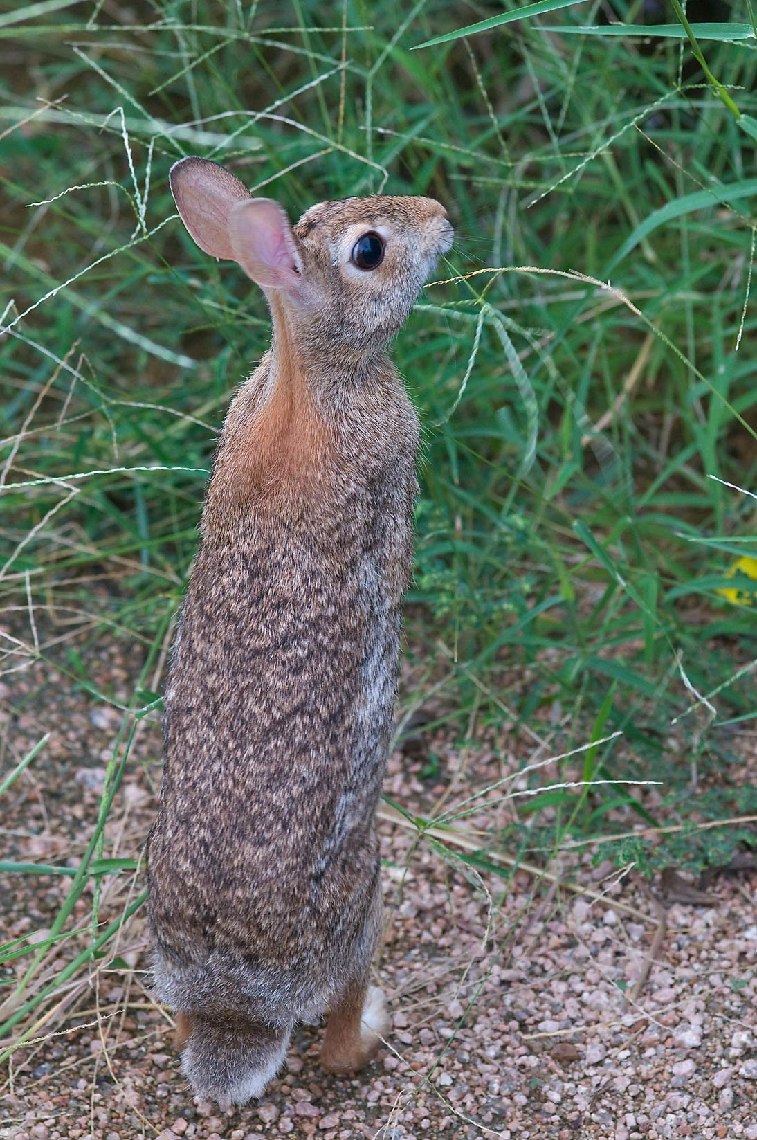 Standing Eastern cottontail rabbit (Sylvilagus...M University. College Station, Texas
