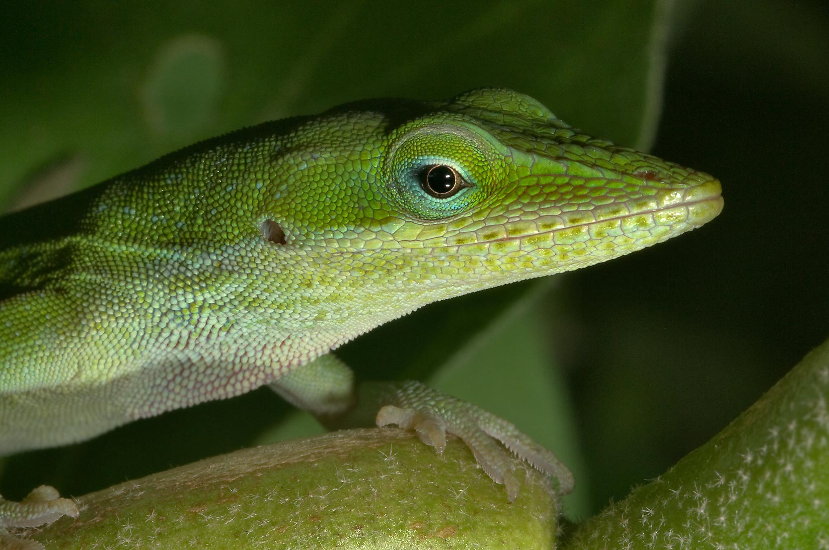 Head of green anole (Anolis carolinensis) on...M University. College Station, Texas