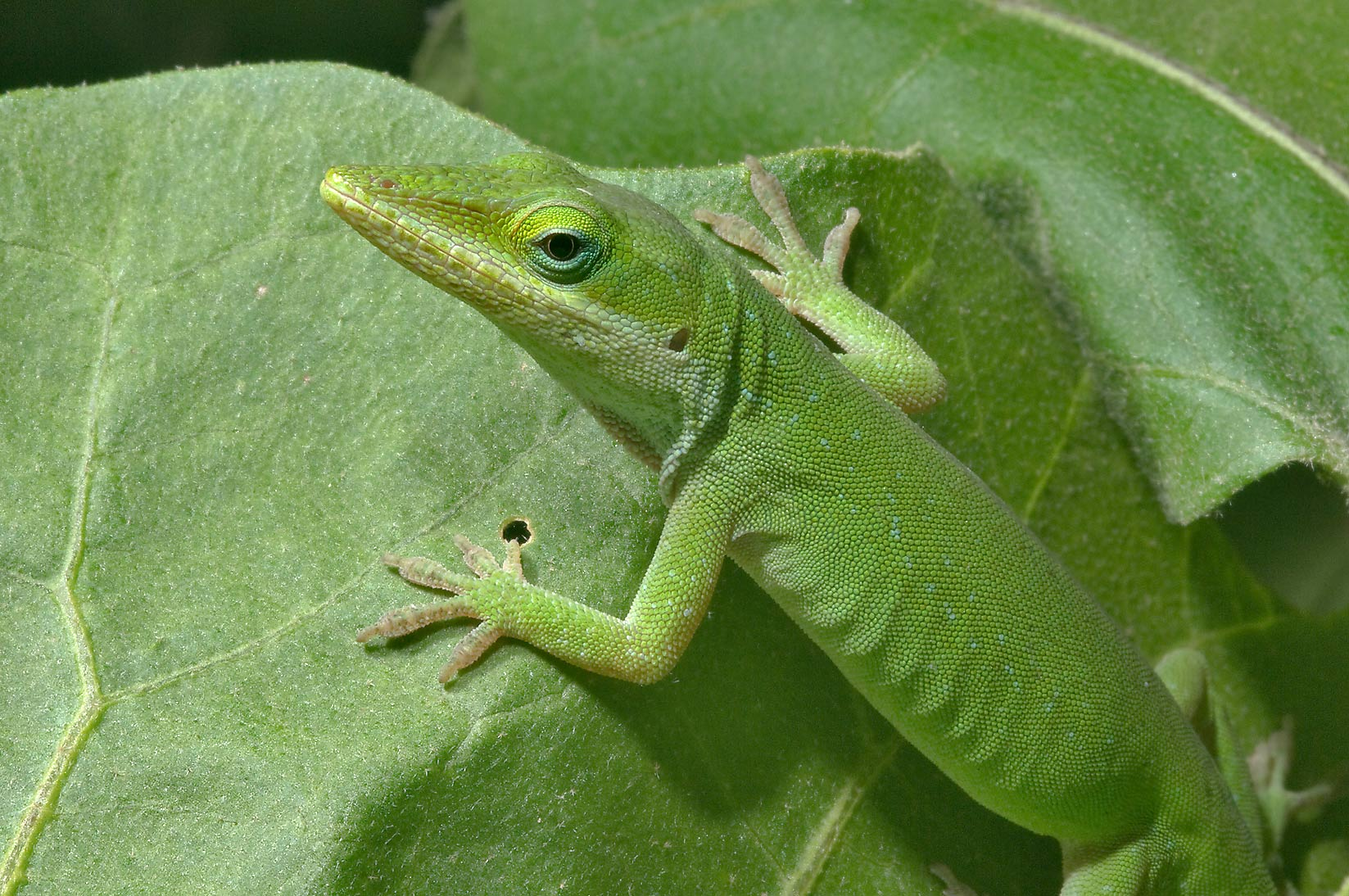 Green anole (Anolis carolinensis) creeping on...M University. College Station, Texas
