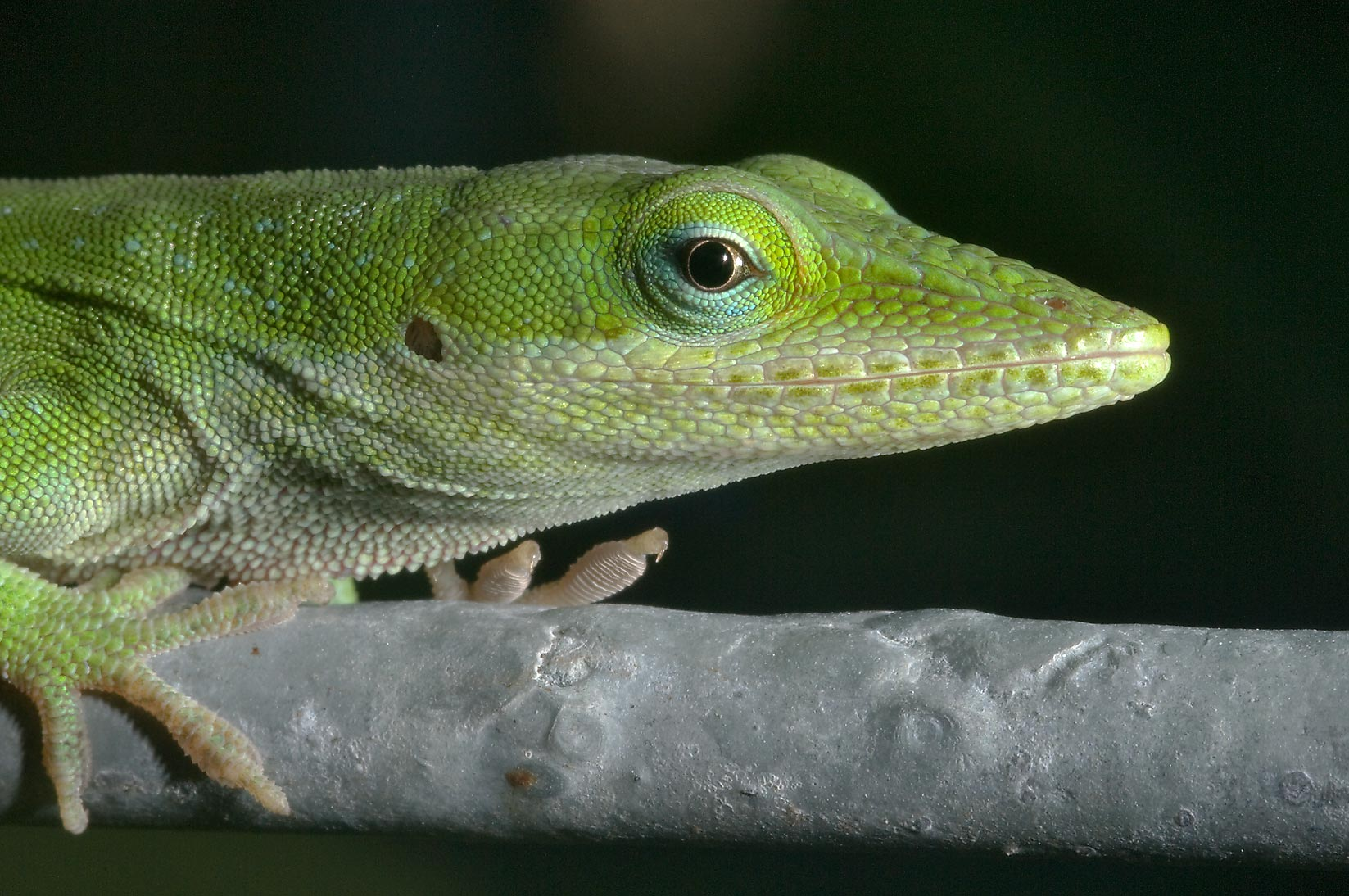 Green anole (Anolis carolinensis) creeping on a...M University. College Station, Texas