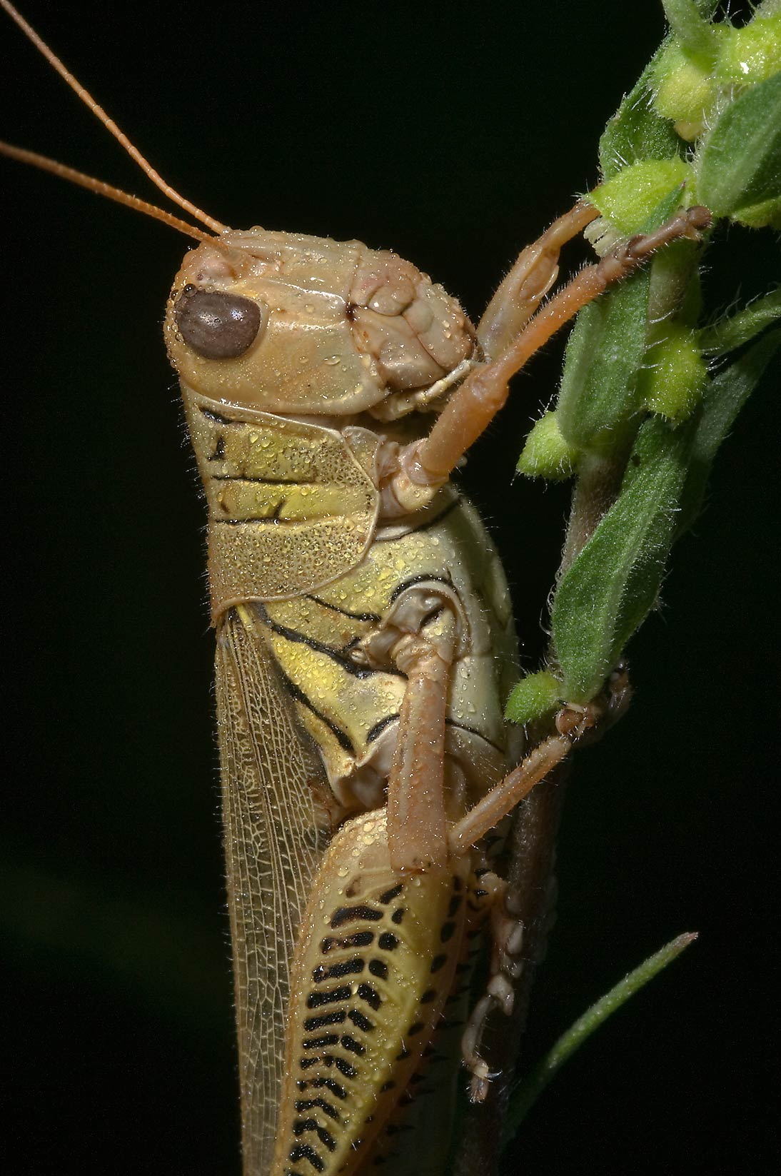 Differential grasshopper (Melanoplus...Creek Park. College Station, Texas