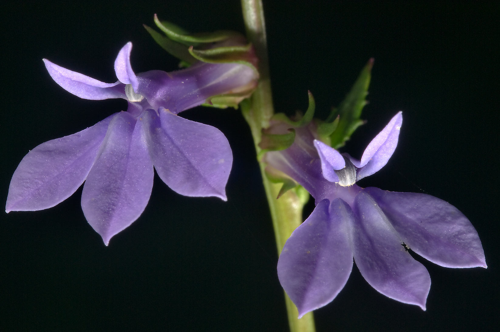 Flowers of purple dewdrop (Lobelia puberula) in...National Forest. Richards, Texas