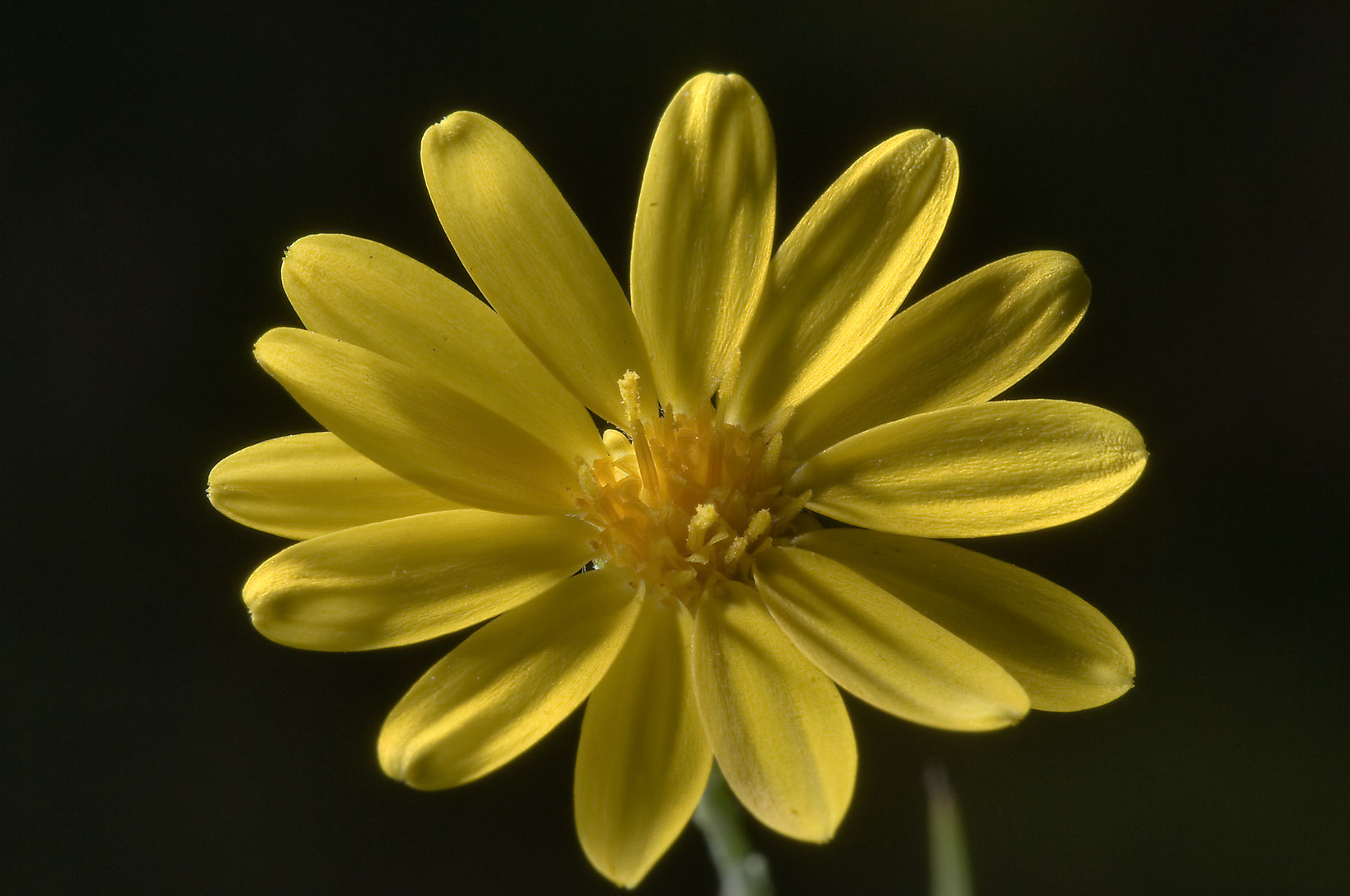 Yellow flower of aster family in Little Lake...National Forest. Richards, Texas