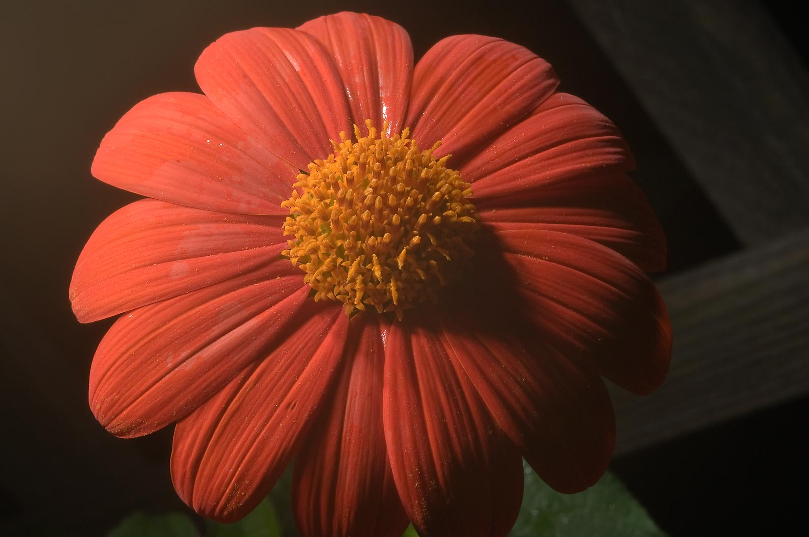 Orange flower of Tithonia rotundifolia (Mexican...M University. College Station, Texas