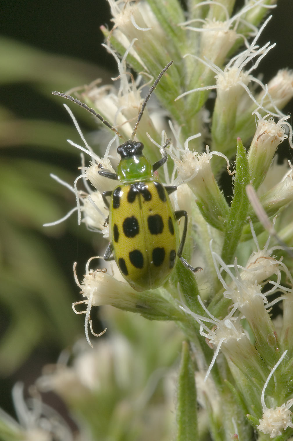 Spotted cucumber beetle (Diabrotica...Creek Park. College Station, Texas