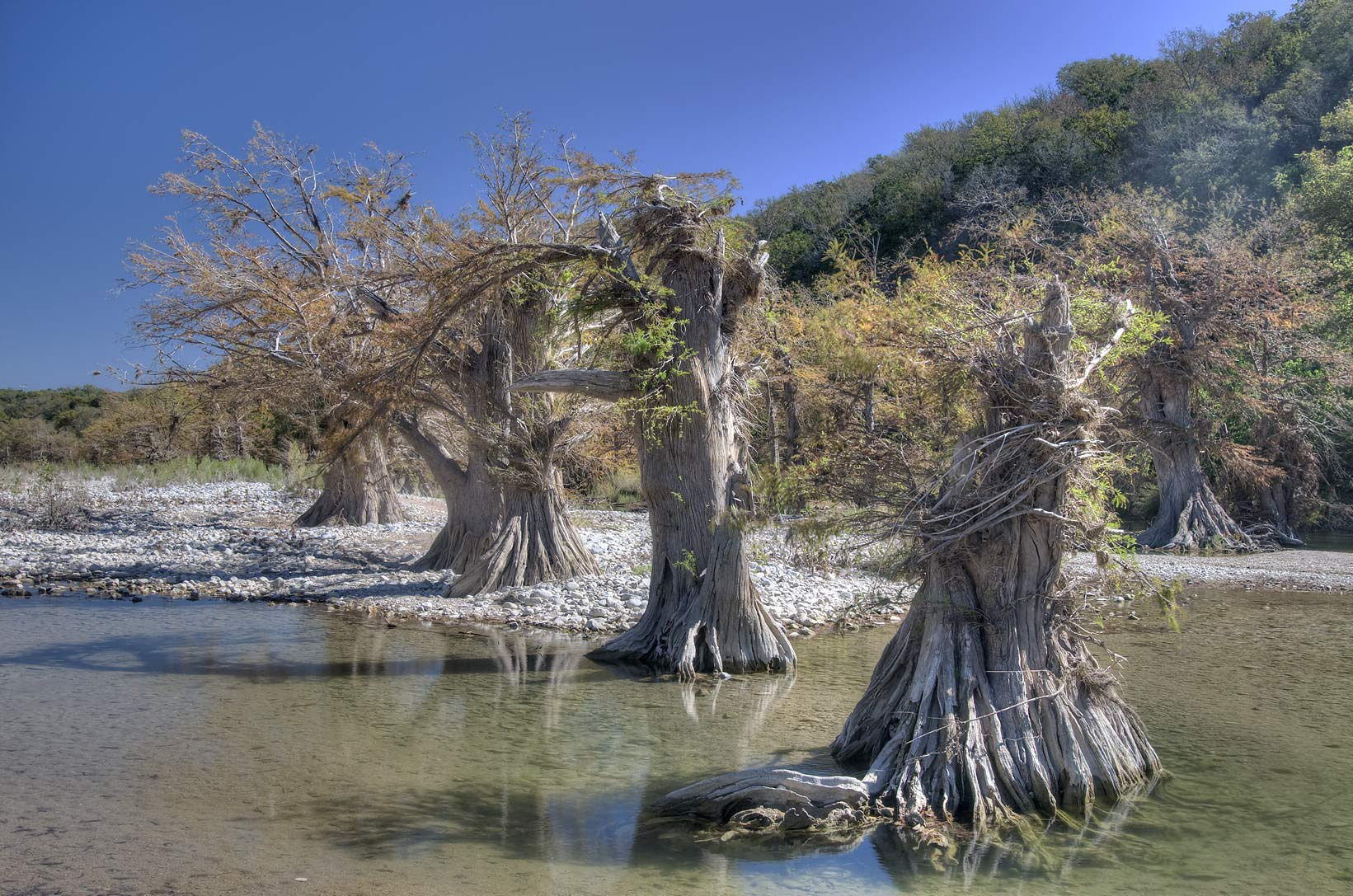 Cypresses damaged by flooding in north-east area...Falls State Park. Johnson City, Texas