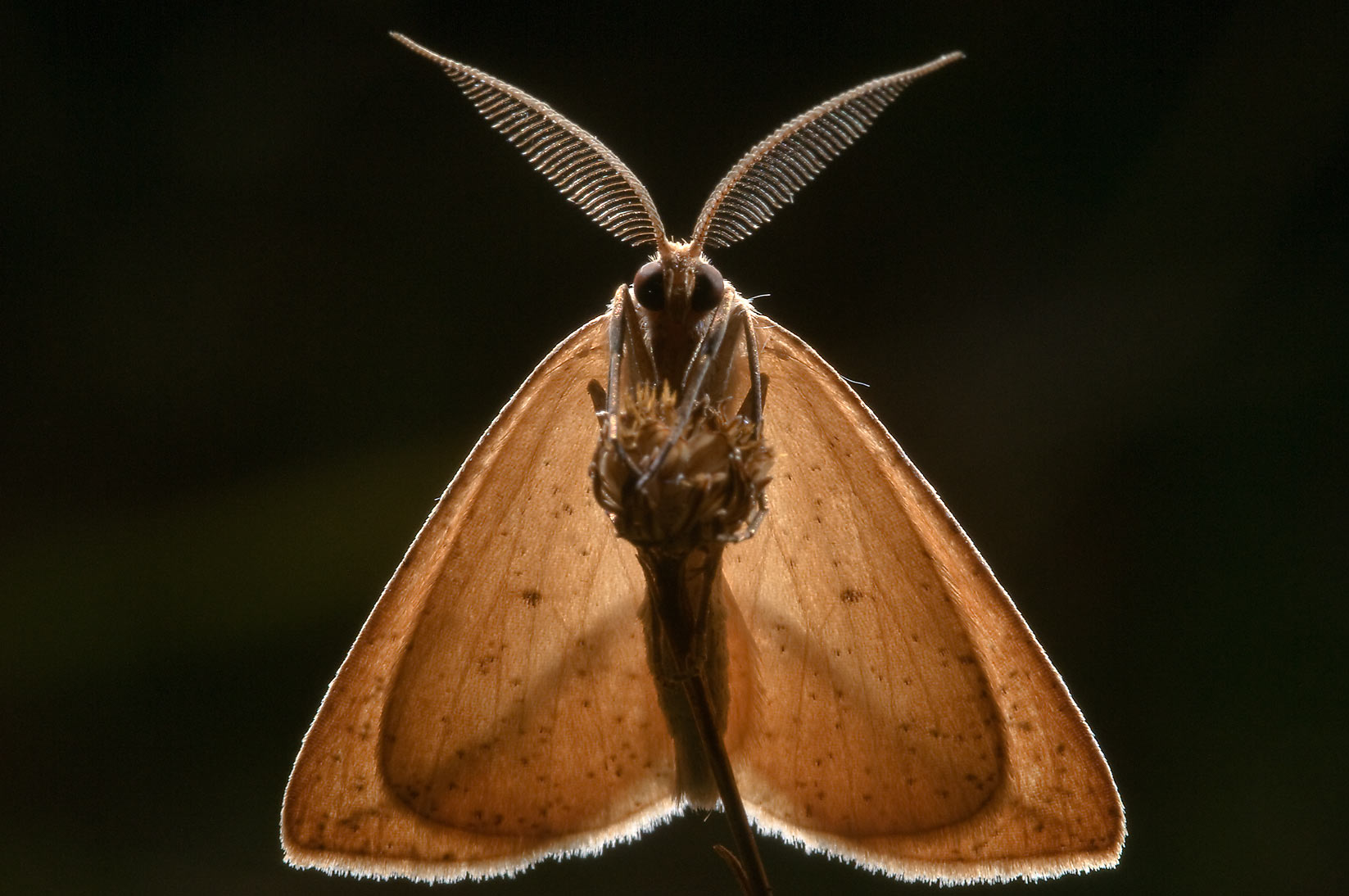 Back lit moth, ventral view, in Lick Creek Park. College Station, Texas