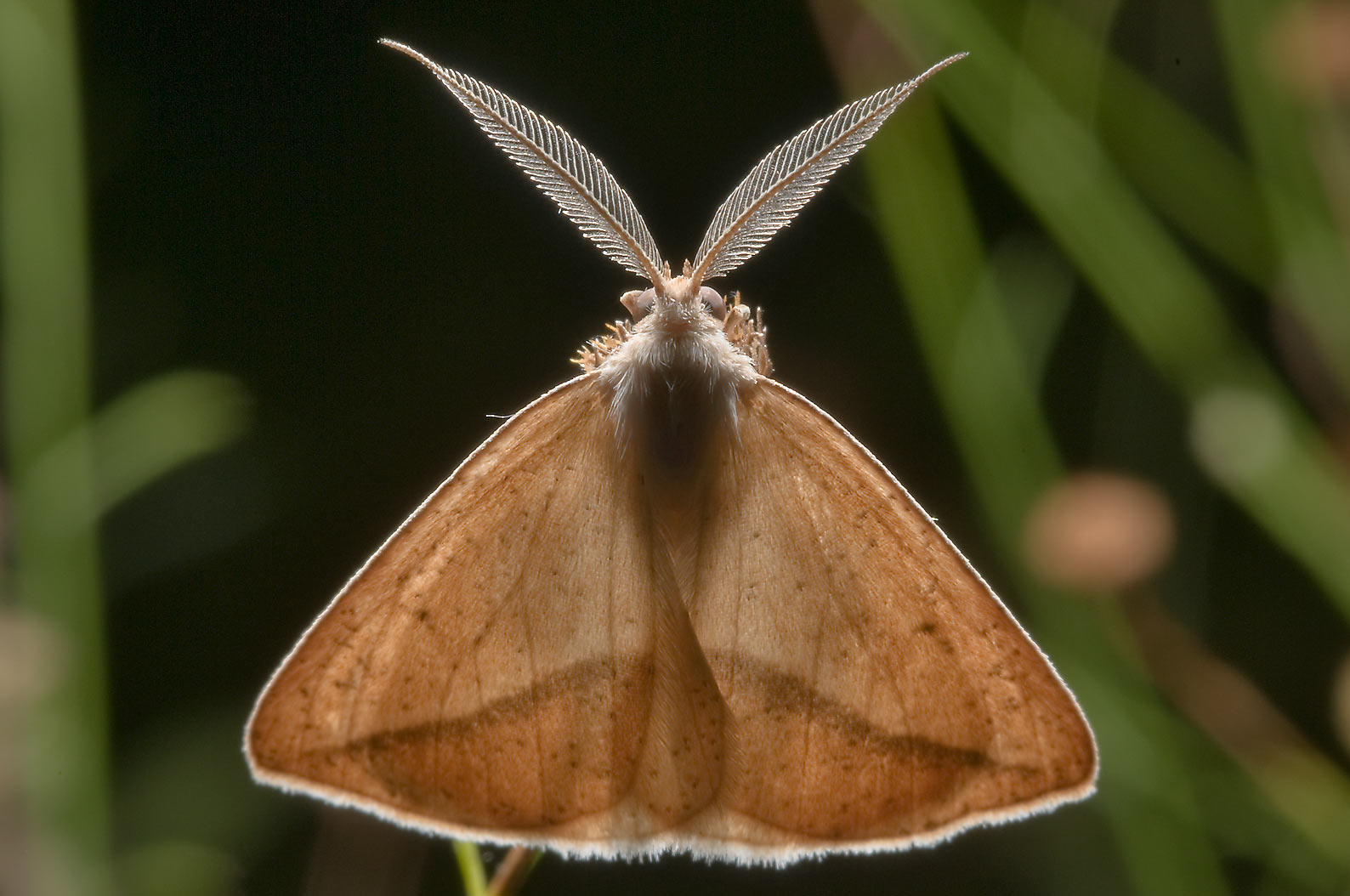 Back lit moth, dorsal view, in Lick Creek Park. College Station, Texas