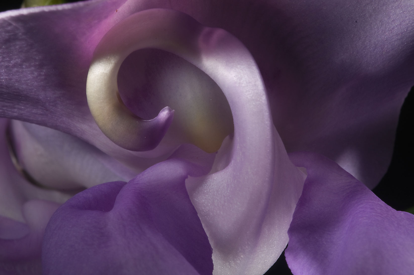 Close up of Corkscrew flower (Vigna caracalla...M University. College Station, Texas