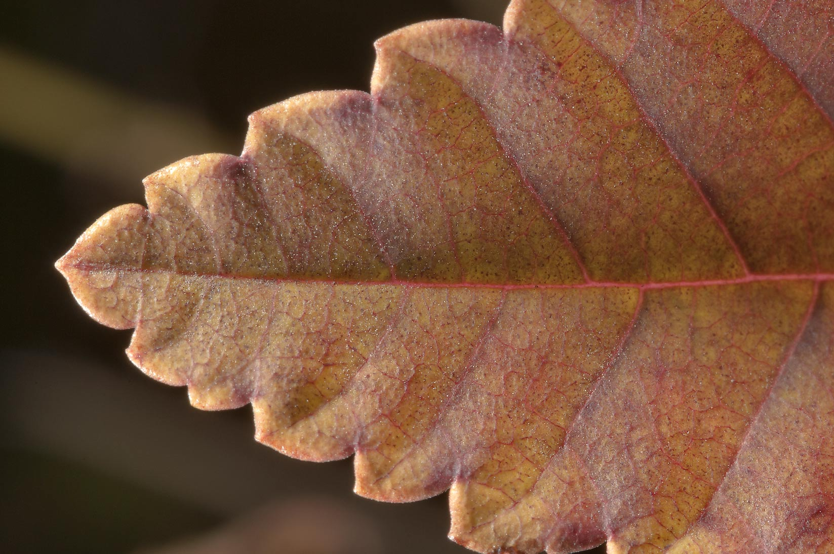 Leaf of elm in TAMU Horticultural Gardens in...M University. College Station, Texas