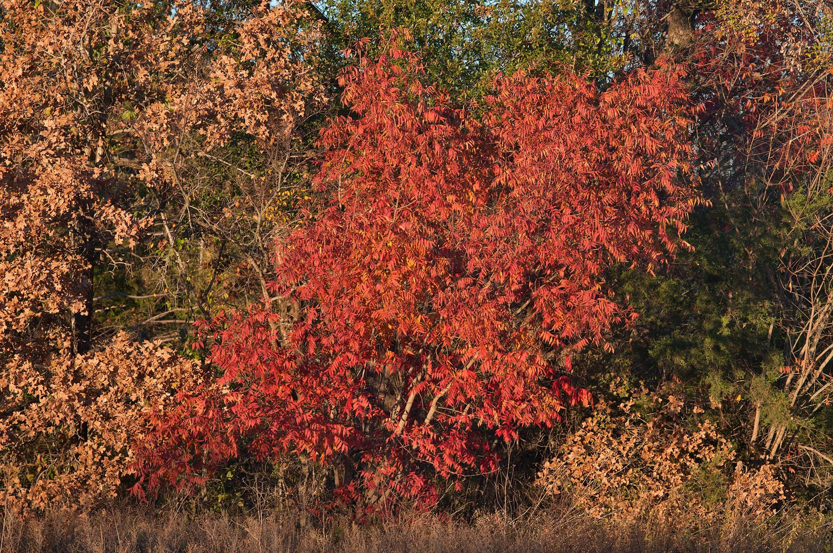 Fall colors of Chinese Pistache (Pistacia...M University. College Station, Texas