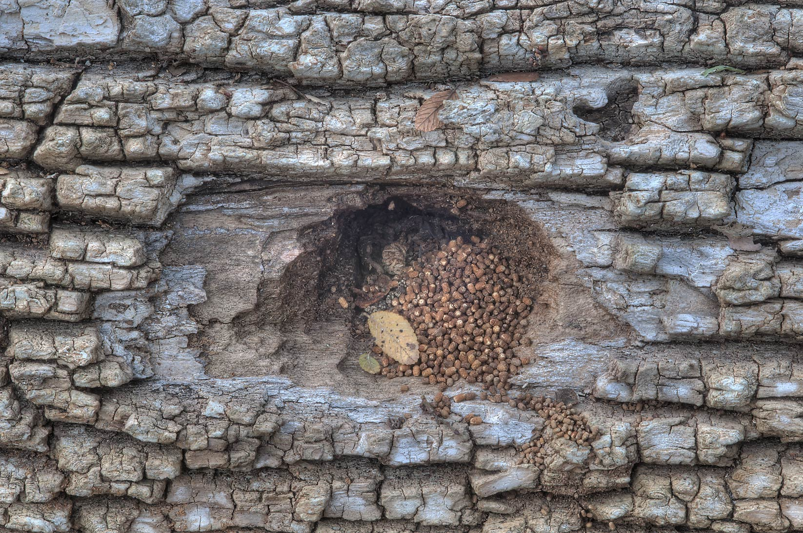Hole in a fallen tree with excrements near Racoon...Creek Park. College Station, Texas