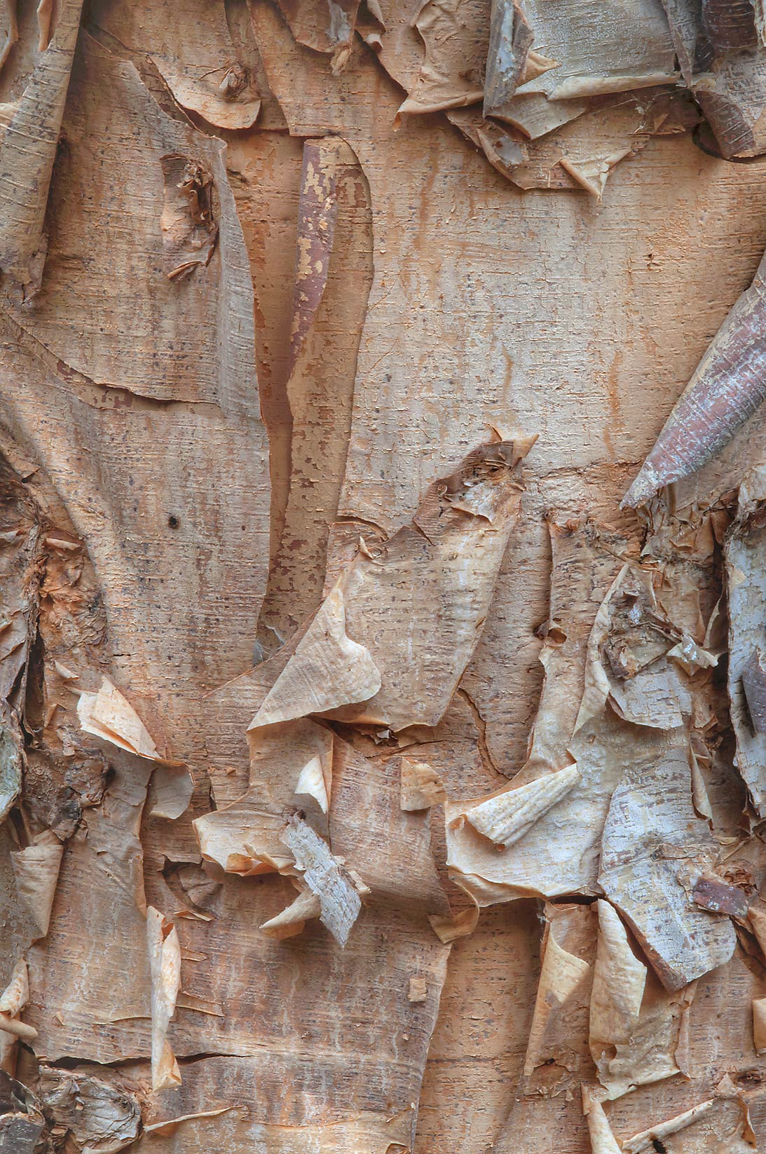 Bark of river birch (Betula nigra) in Lick Creek Park. College Station, Texas