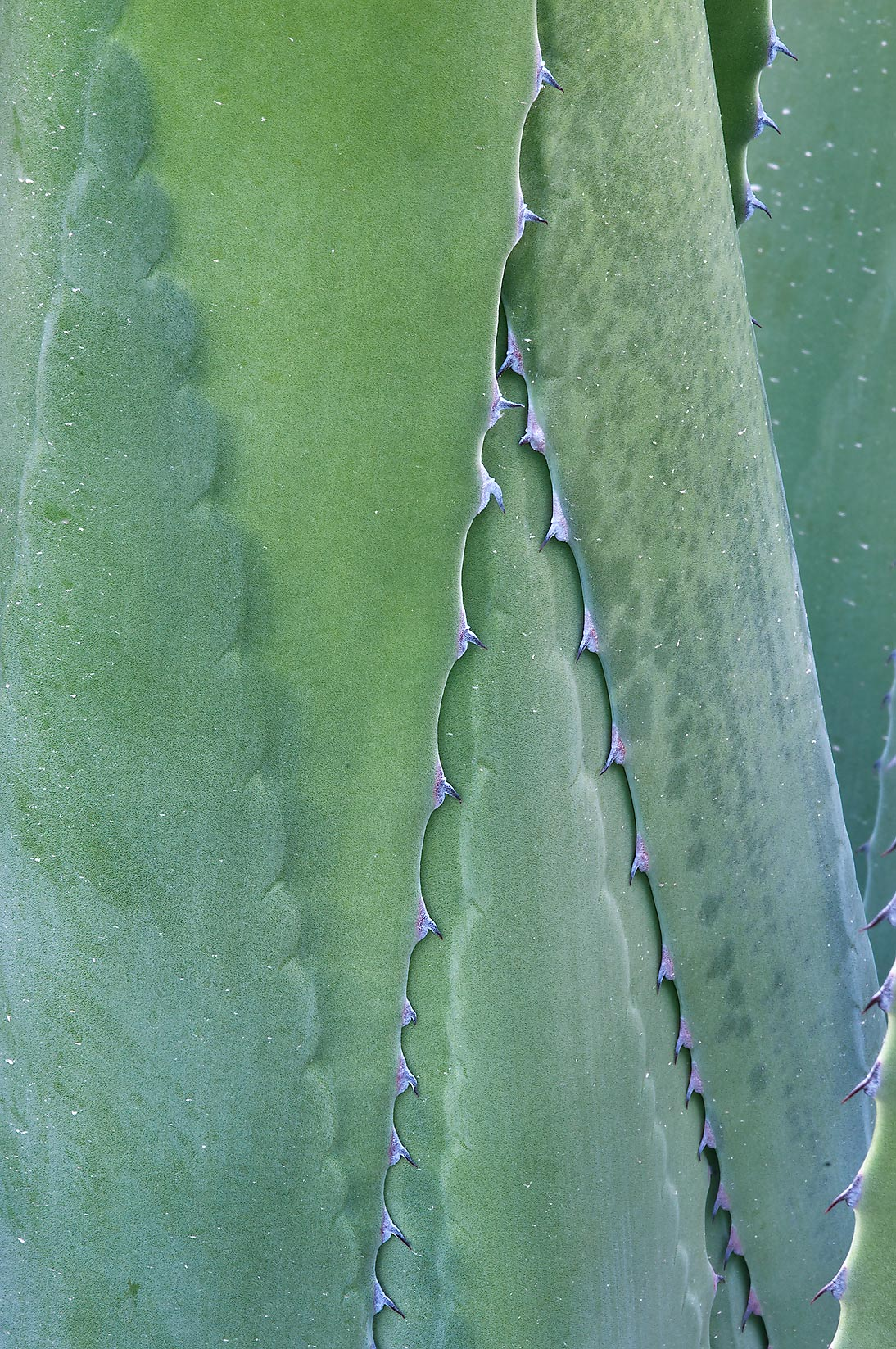 Leaf texture of Mexican agave in TAMU Holistic...M University. College Station, Texas