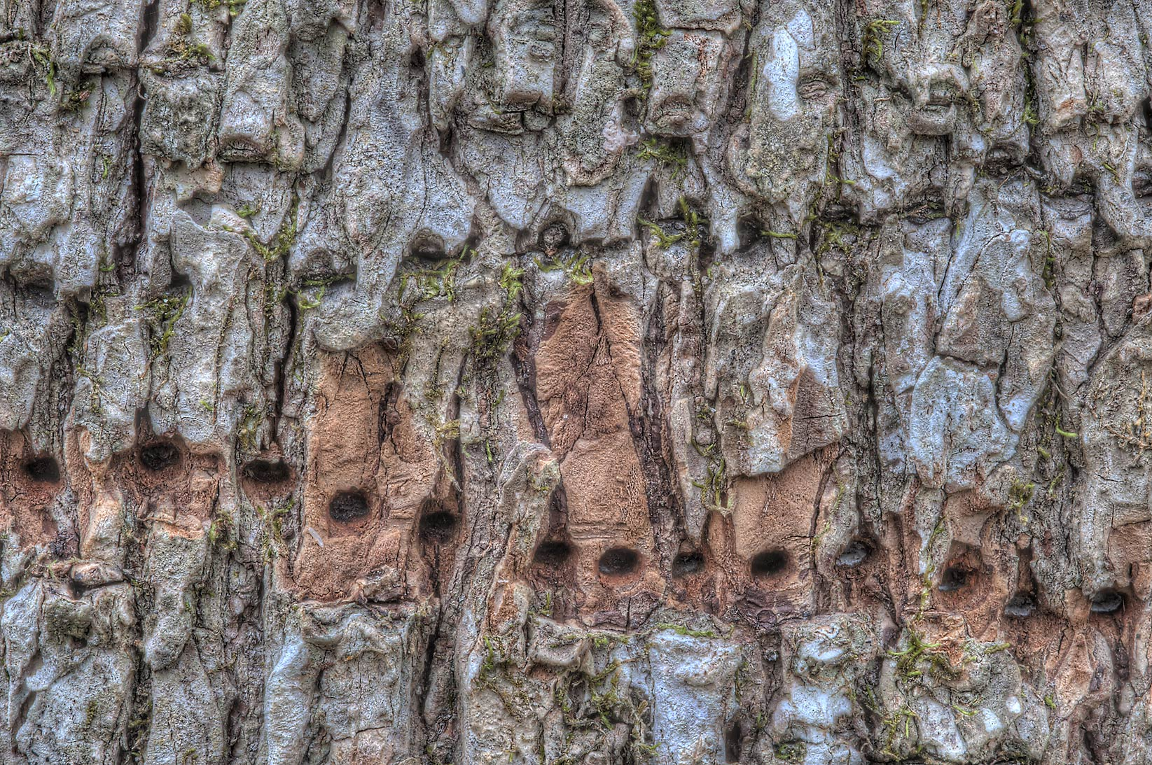 Rows of fresh and old sapsucker holes on tree...Creek Park. College Station, Texas