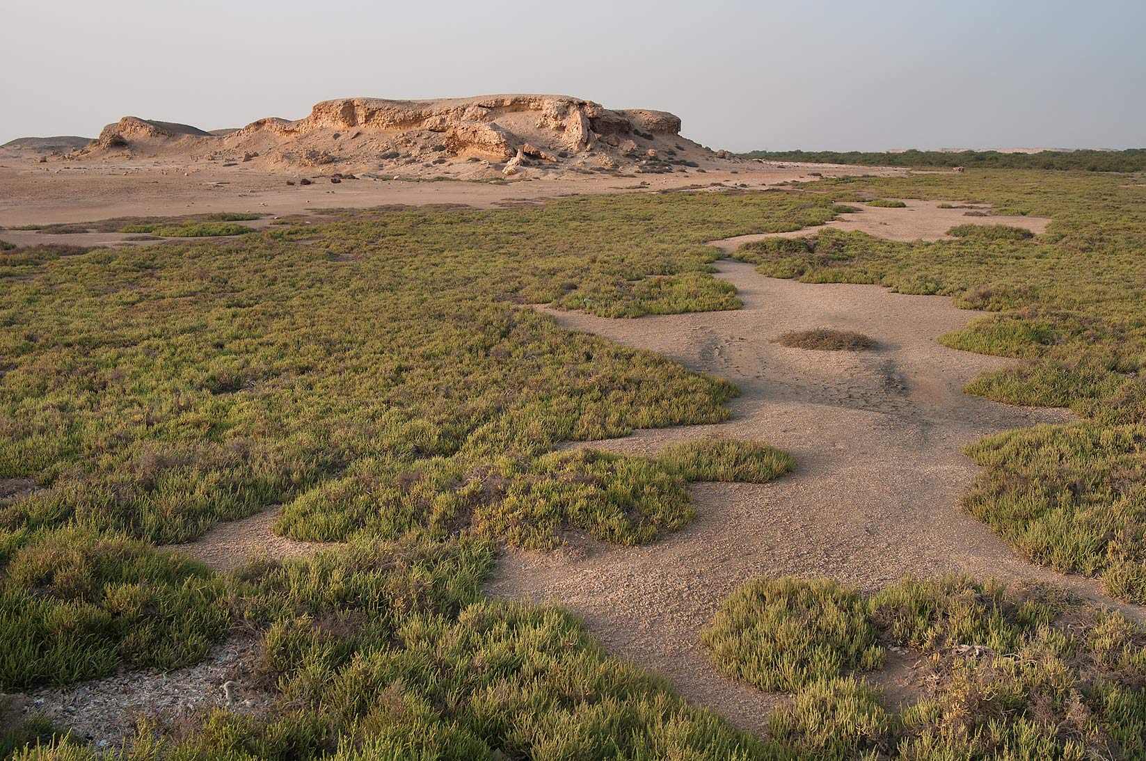 Salt marsh overgrown mostly with jointed...Jazirat Bin Ghanim). Al Khor, Qatar