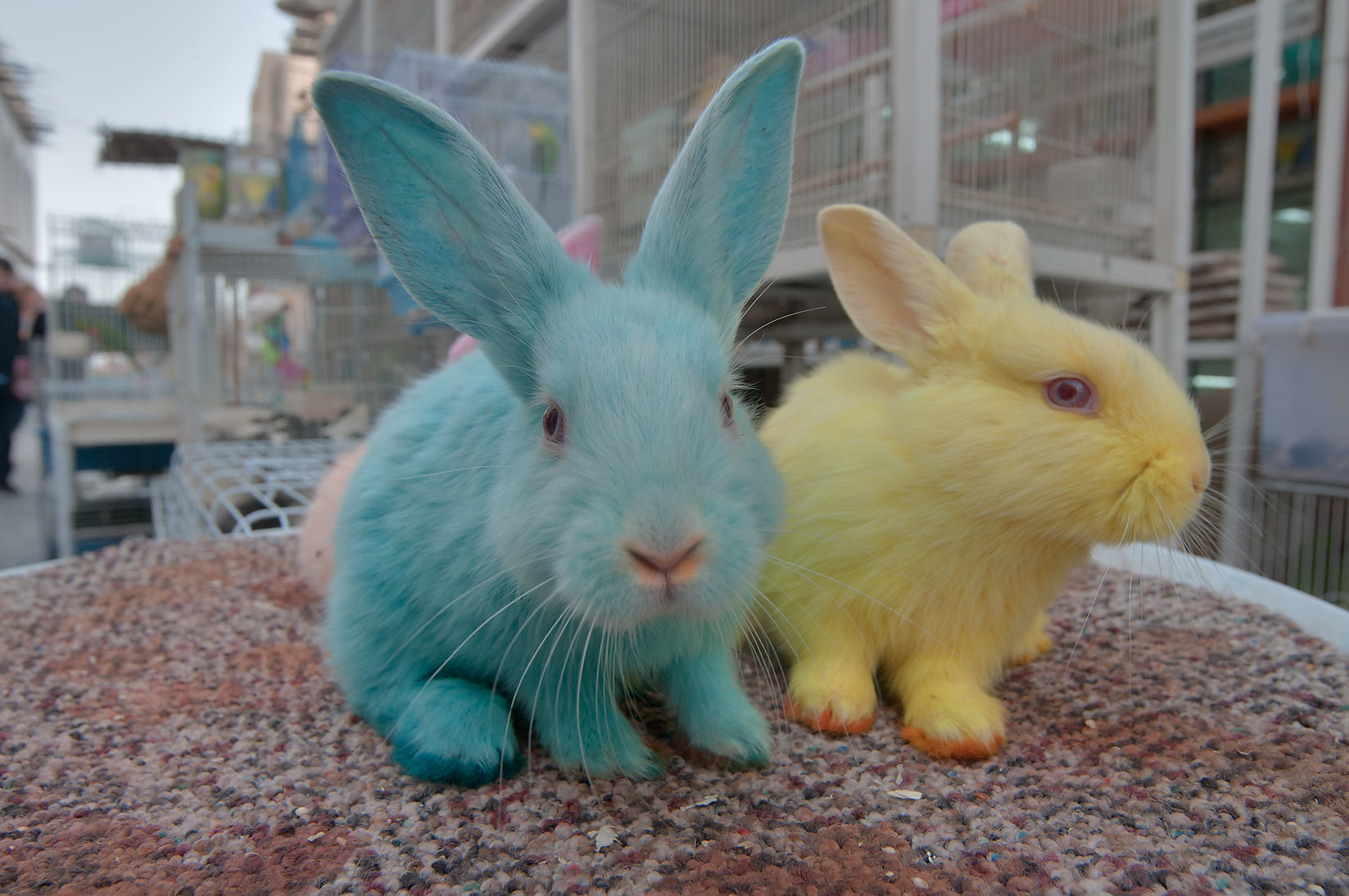 Green and yellow dyed rabbits in pet market of Souq Waqif. Doha, Qatar