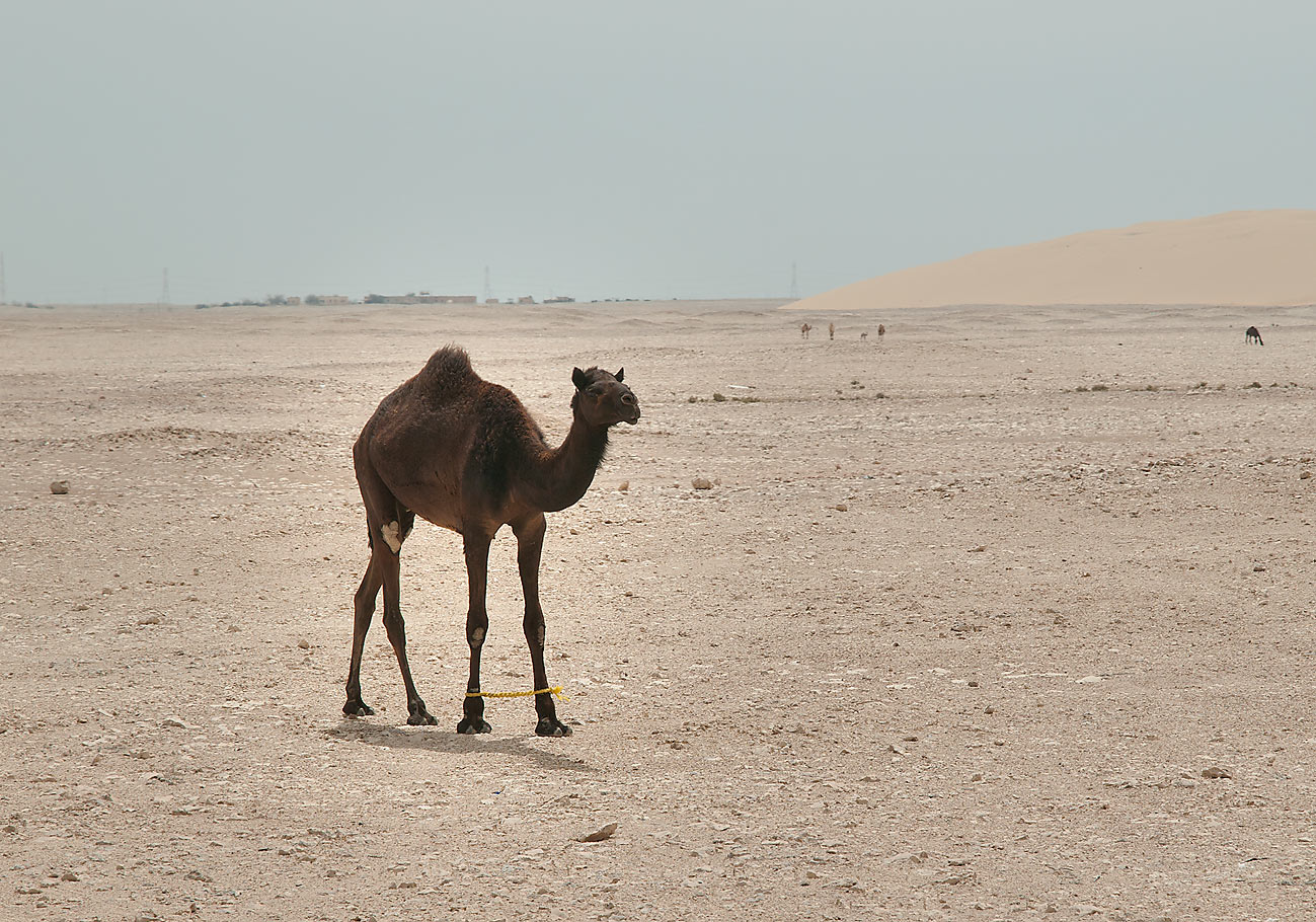 Camel with entangled legs in area of dunes in desert south-west from Al Wakrah. Qatar