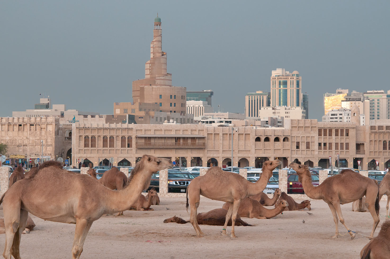 Camels near Al Khoot Fort, view from Al Ashmakh St.. Doha, Qatar