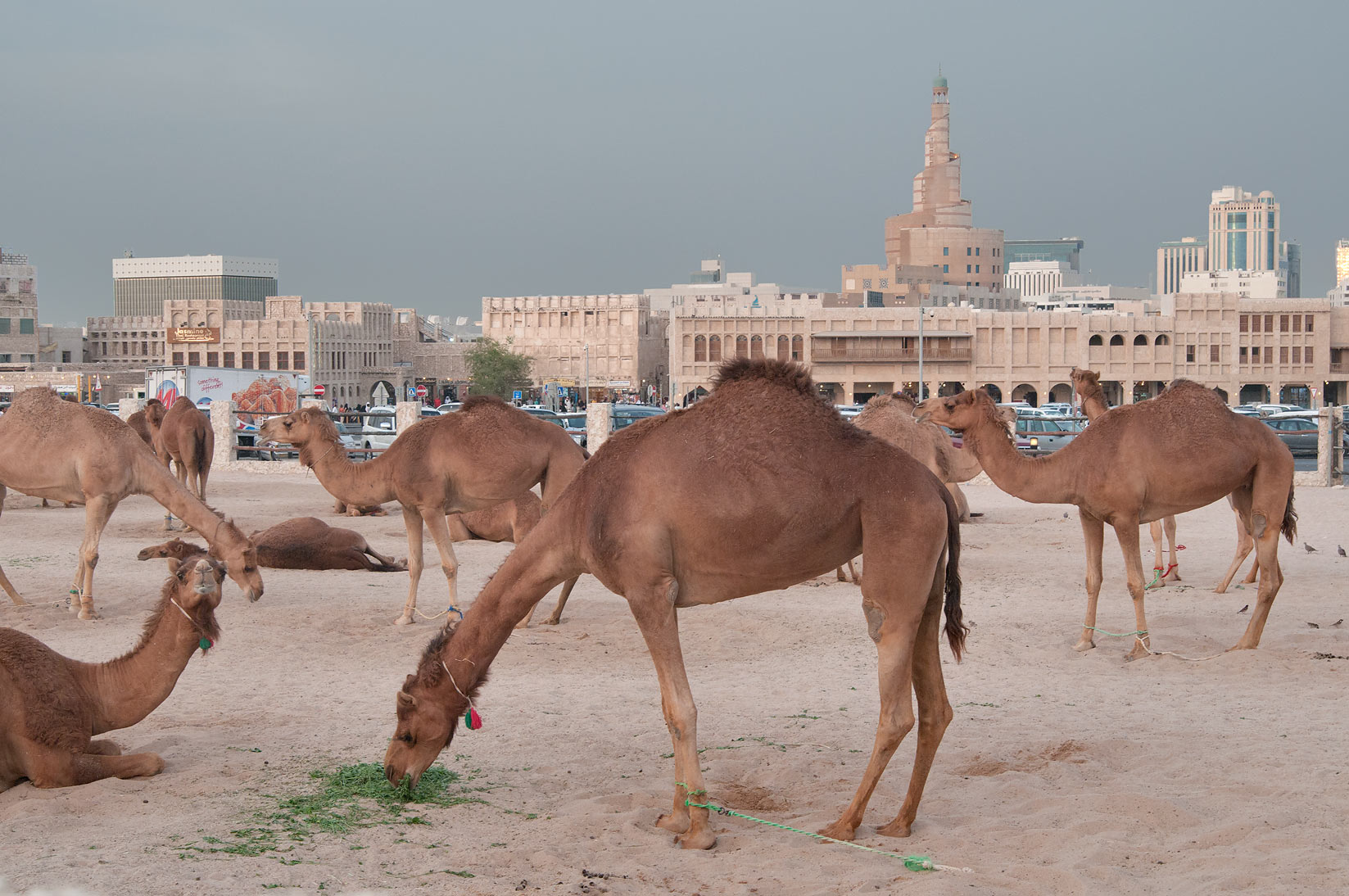 Group of camels near Al Khoot Fort, view from Al Ashmakh St.. Doha, Qatar