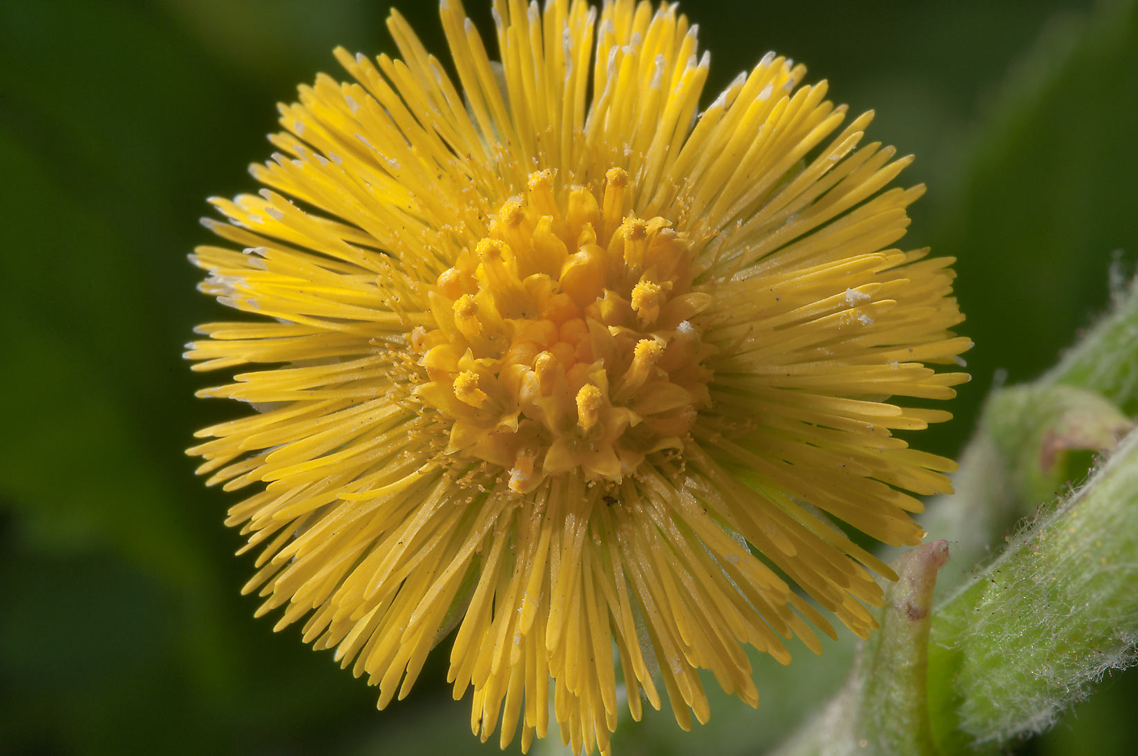 Common yellow spring flower of Coltsfoot...Institute. St.Petersburg, Russia
