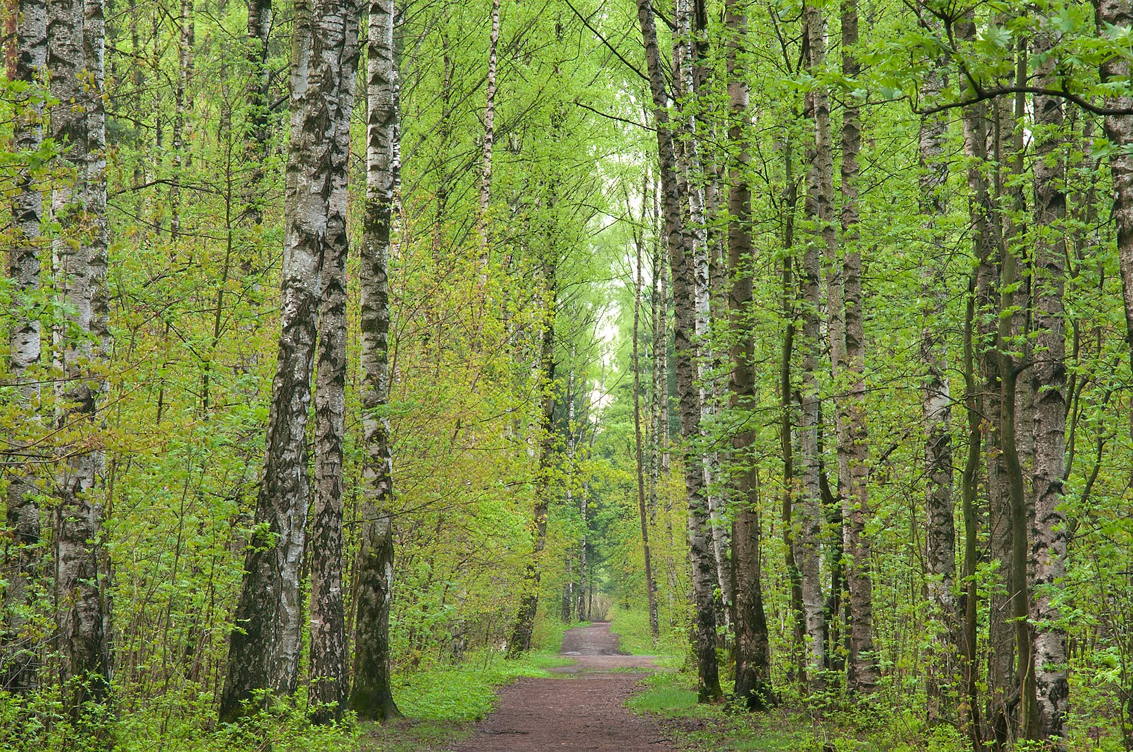Road through birch forest in Sosnovka Park. St.Petersburg, Russia