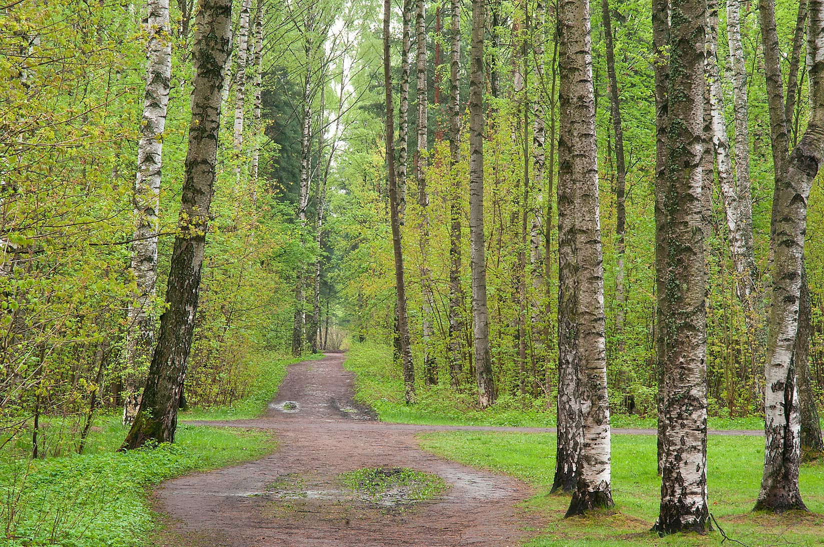 Road in a birch forest in Sosnovka Park. St.Petersburg, Russia