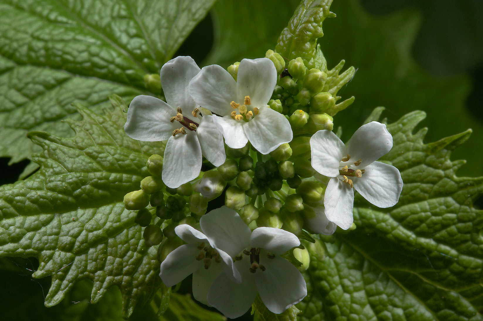 Flowers of garlic mustard (Alliaria petiolata) in...Institute. St.Petersburg, Russia