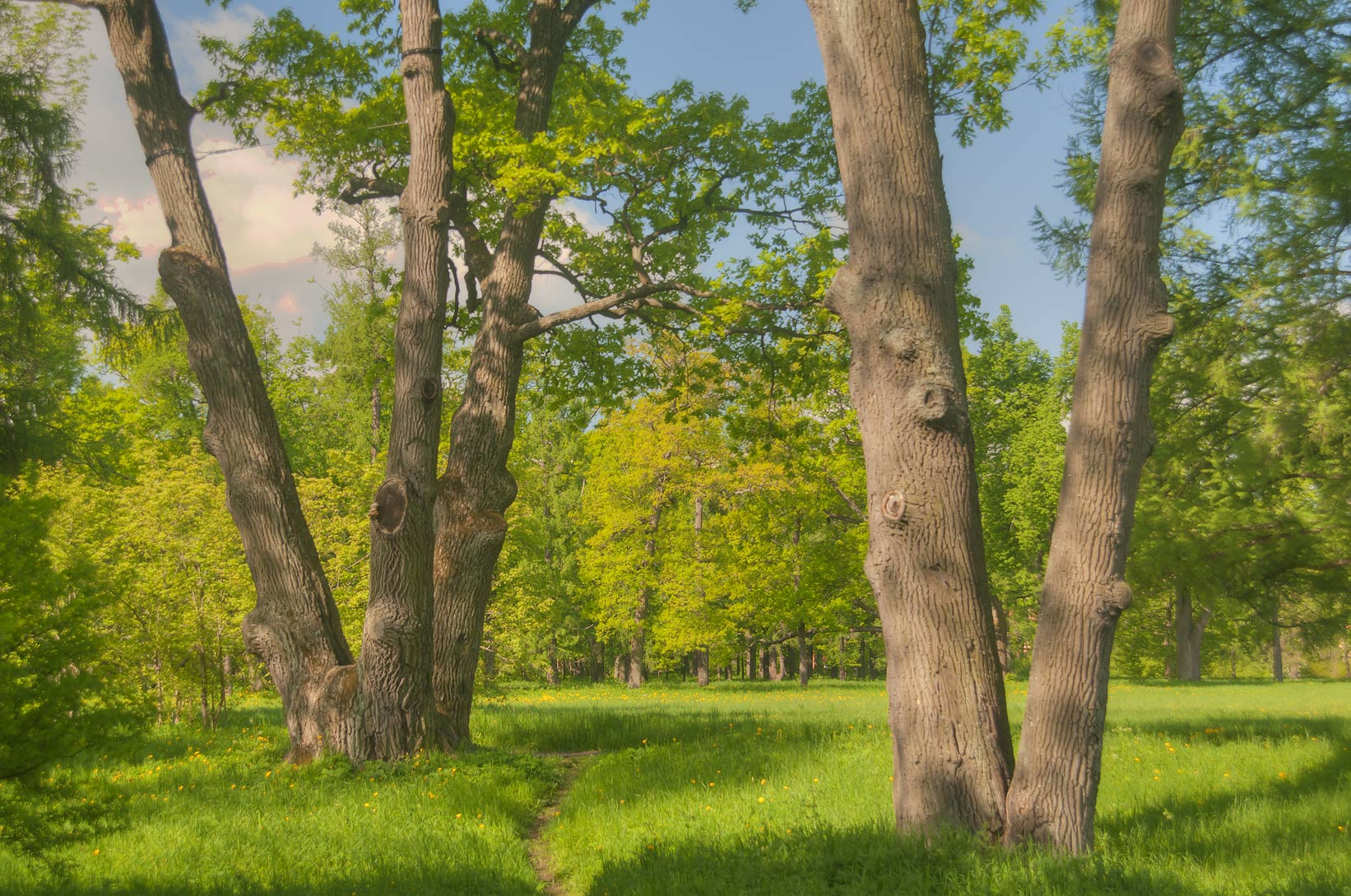 Trees in Ekaterininsky Park. Pushkin (former...south from St.Petersburg, Russia