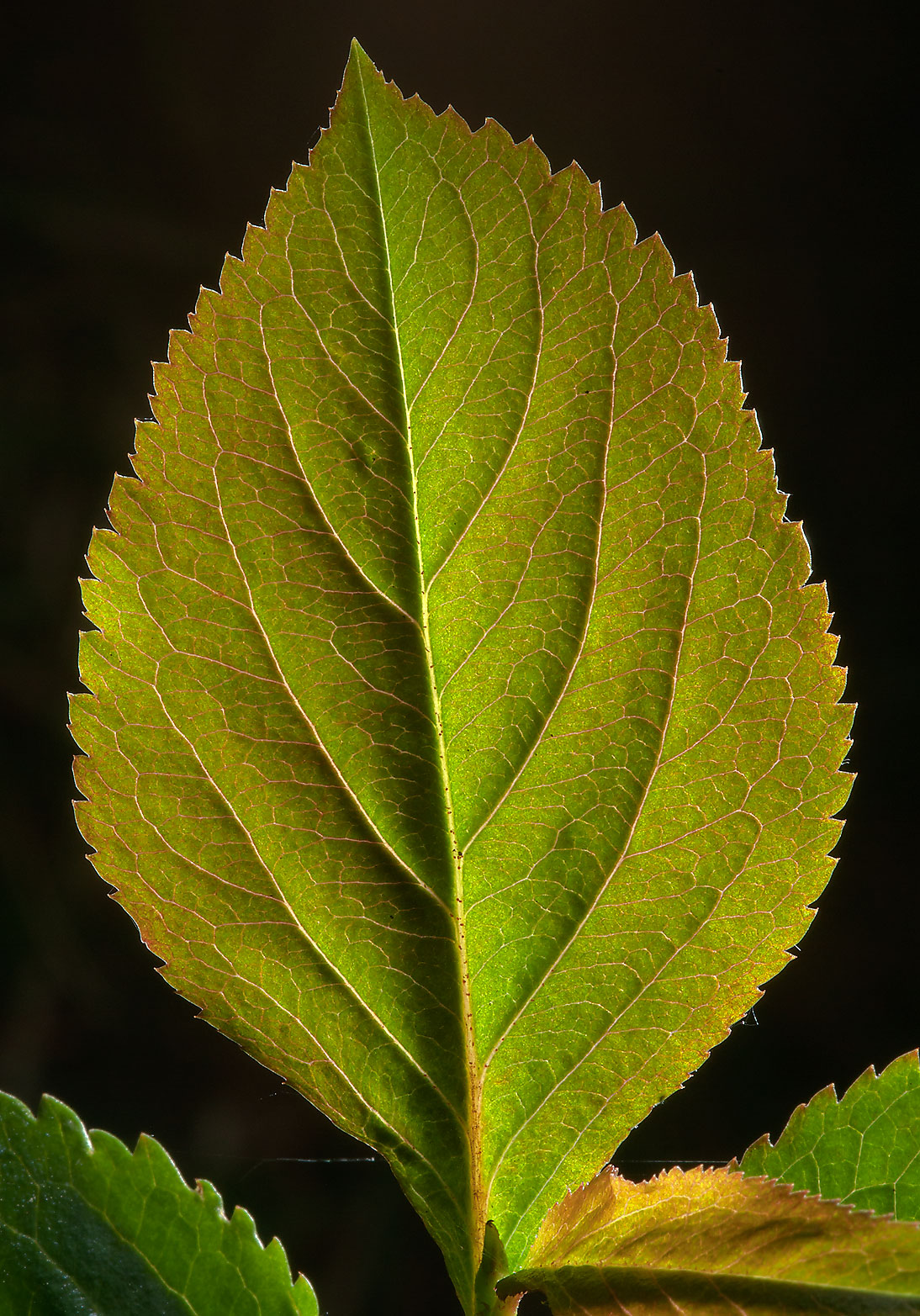 Back lit leaf of black chokeberry (Aronia...Sosnovka Park in St.Petersburg. Russia