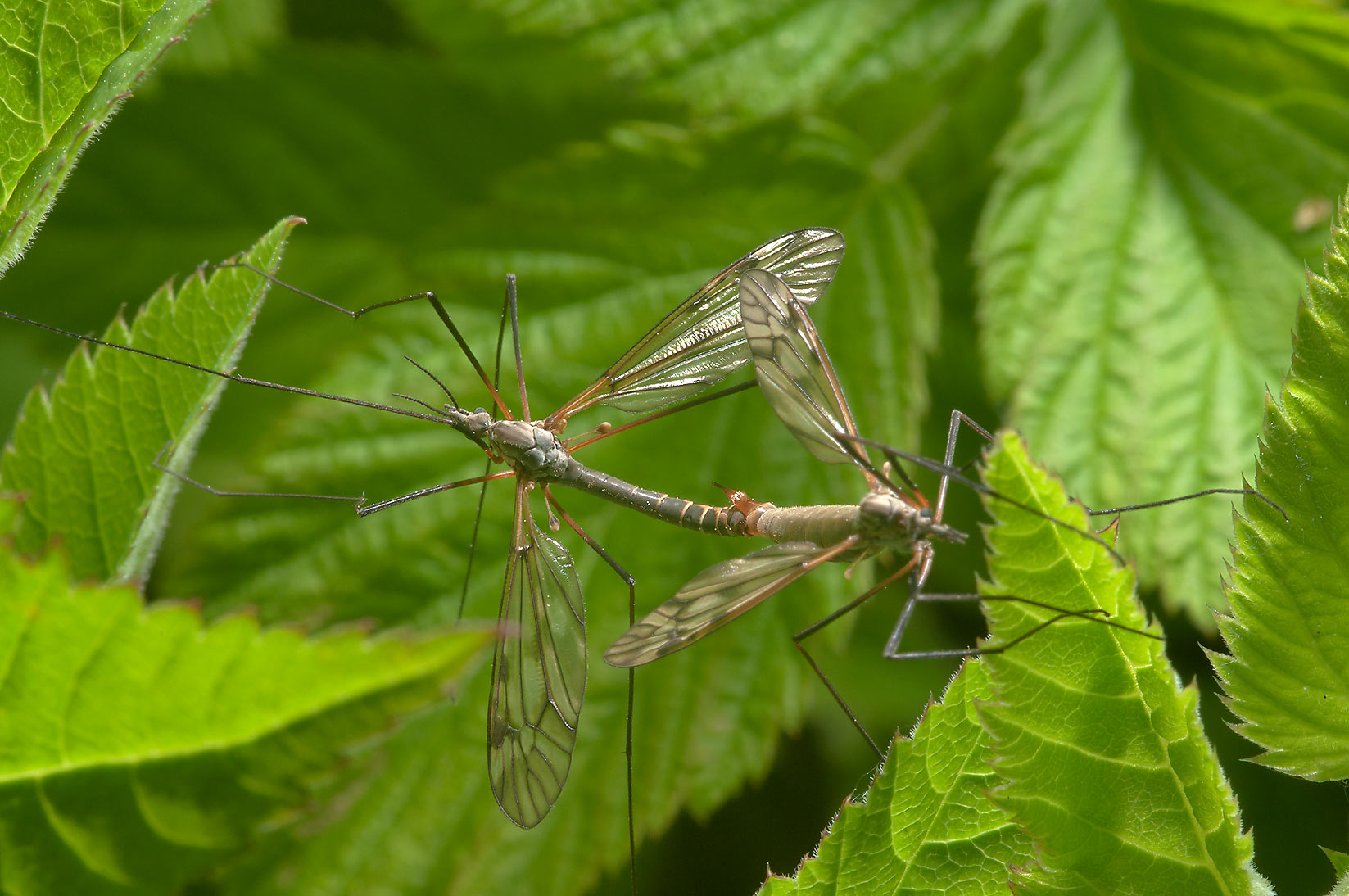Crane flies in Menkovo, south from St.Petersburg. Russia