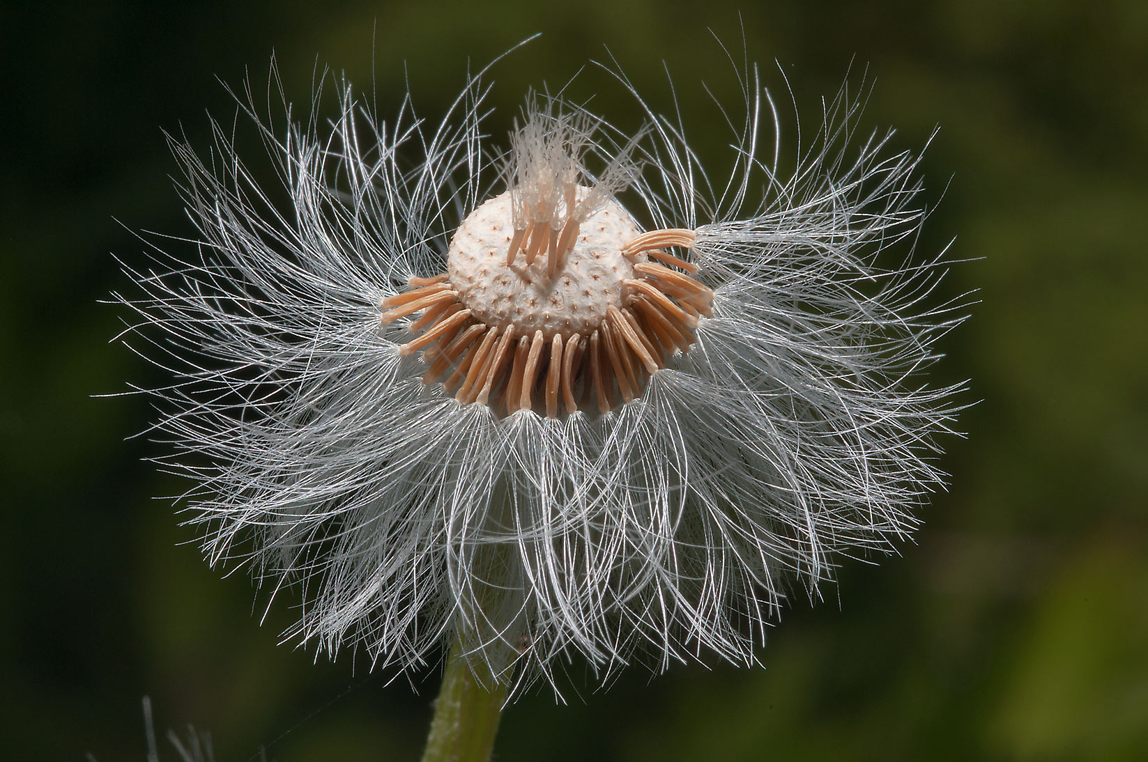 Seed head of Coltsfoot (Tussilago farfara...south from St.Petersburg. Russia