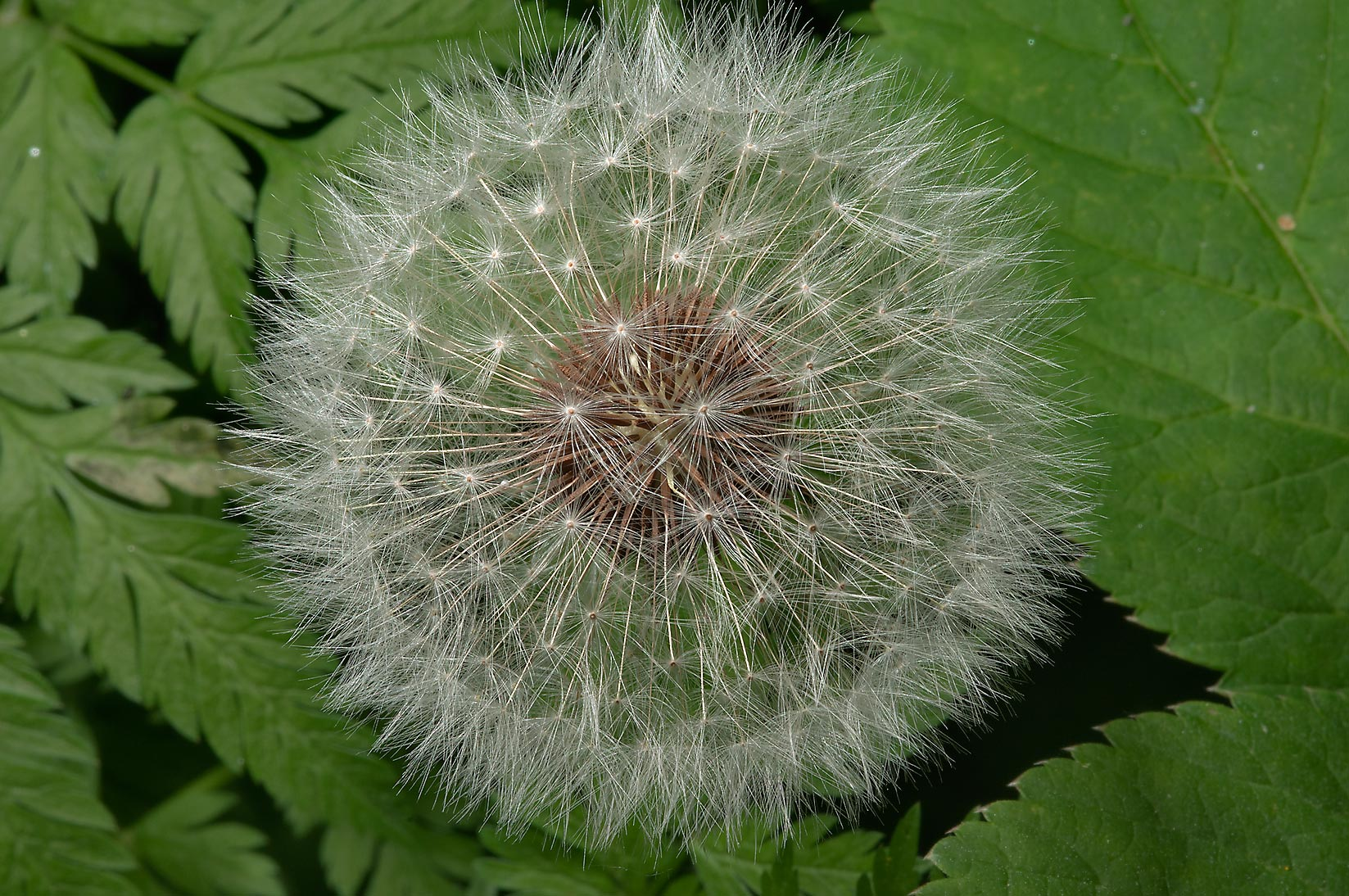 Globular seed head of common dandelion (Taraxacum...Institute. St.Petersburg, Russia