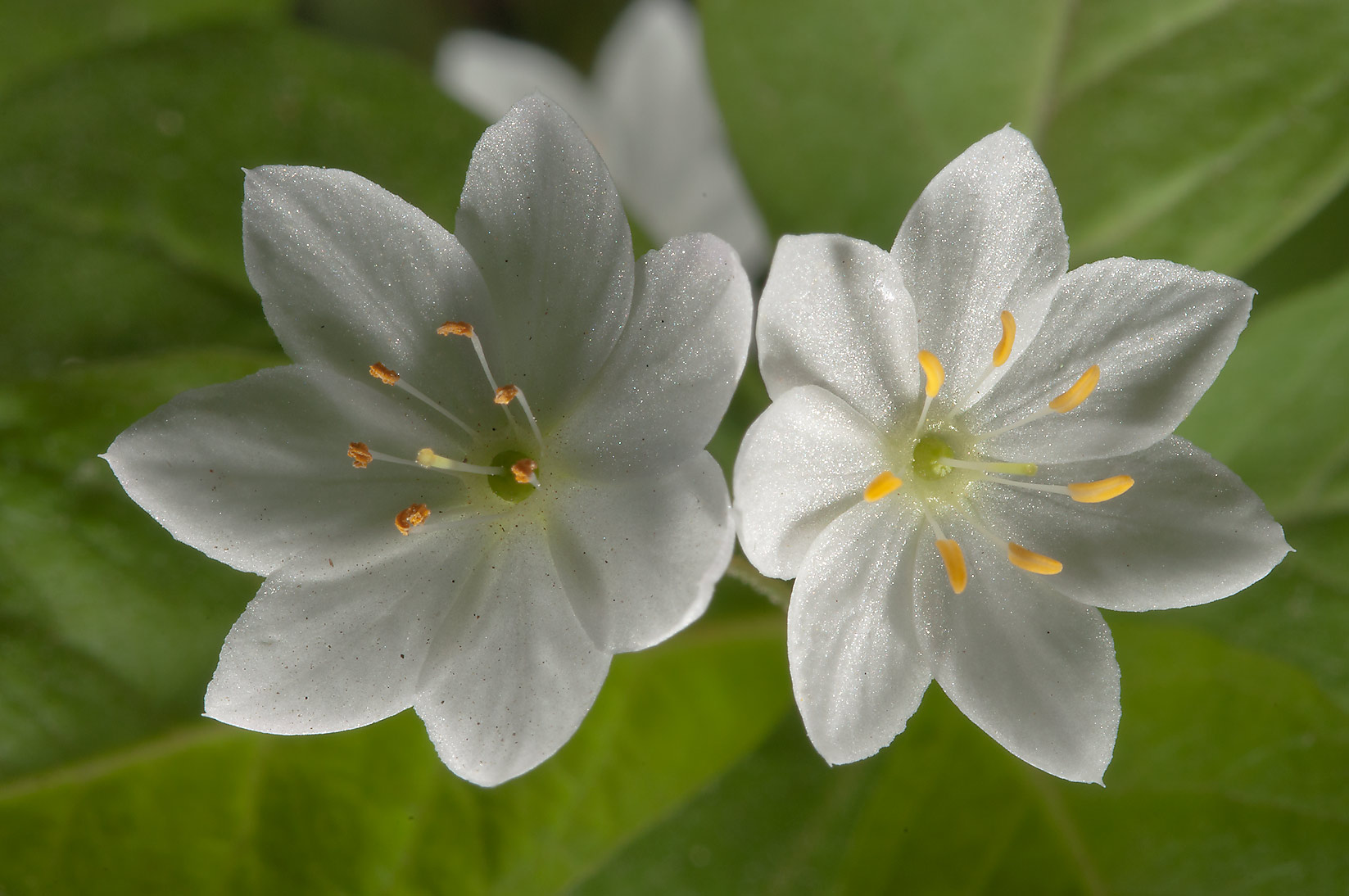 Arctic starflower (Trientalis europaea, Russian...miles north from St.Petersburg. Russia