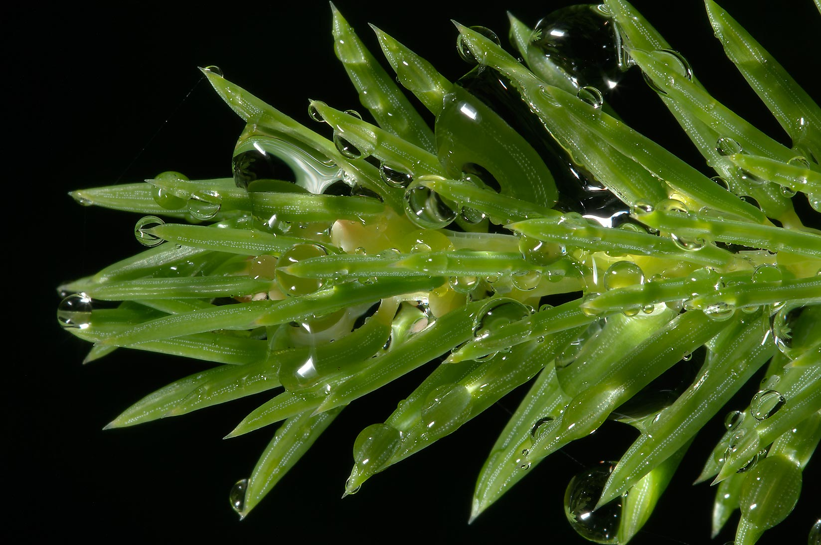 Young fir needles with water drops on 69 kilometr...north from St.Petersburg. Russia