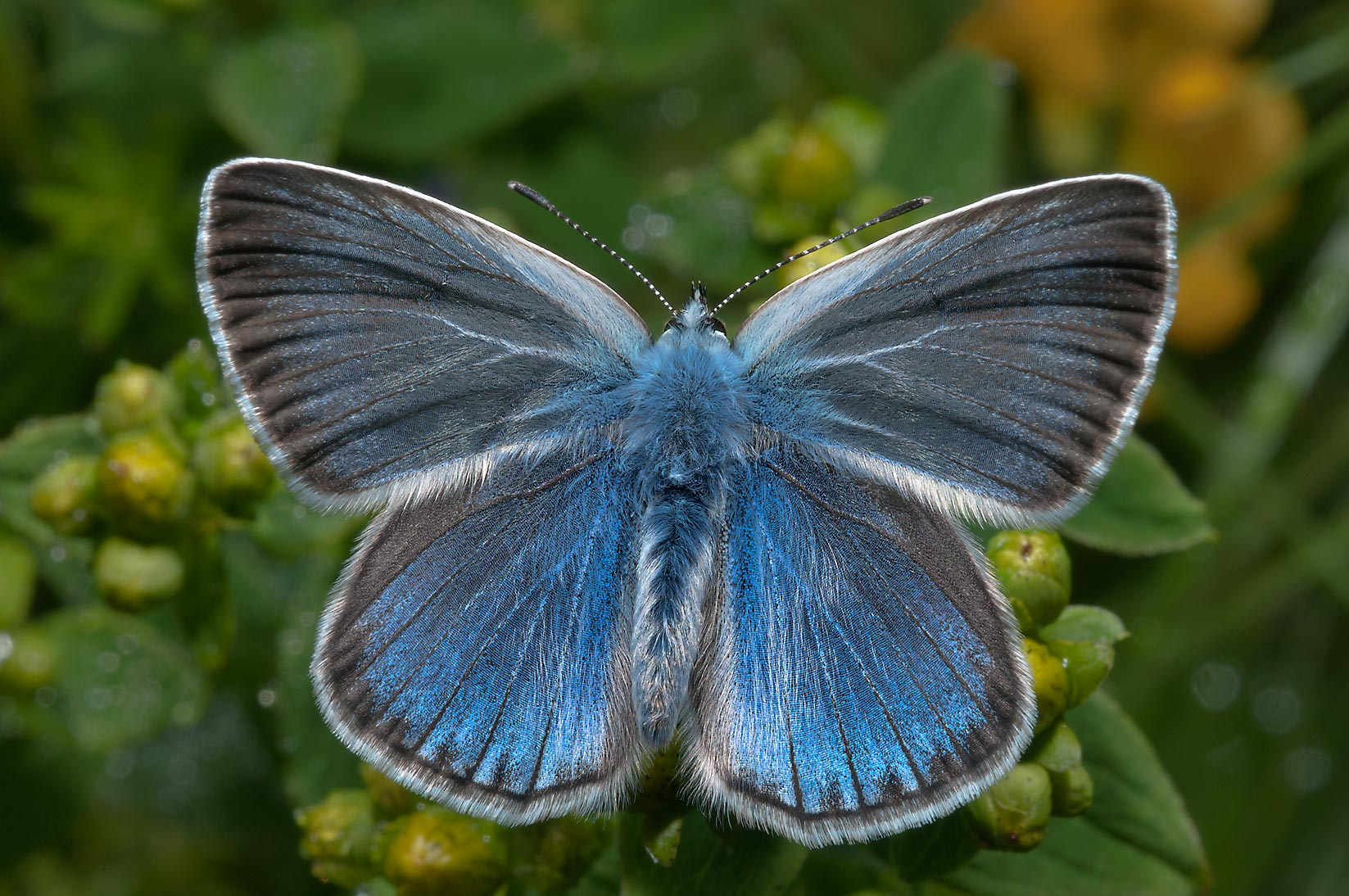 Amanda's Blue butterfly (Polyommatus amandus) on...miles north from St.Petersburg. Russia